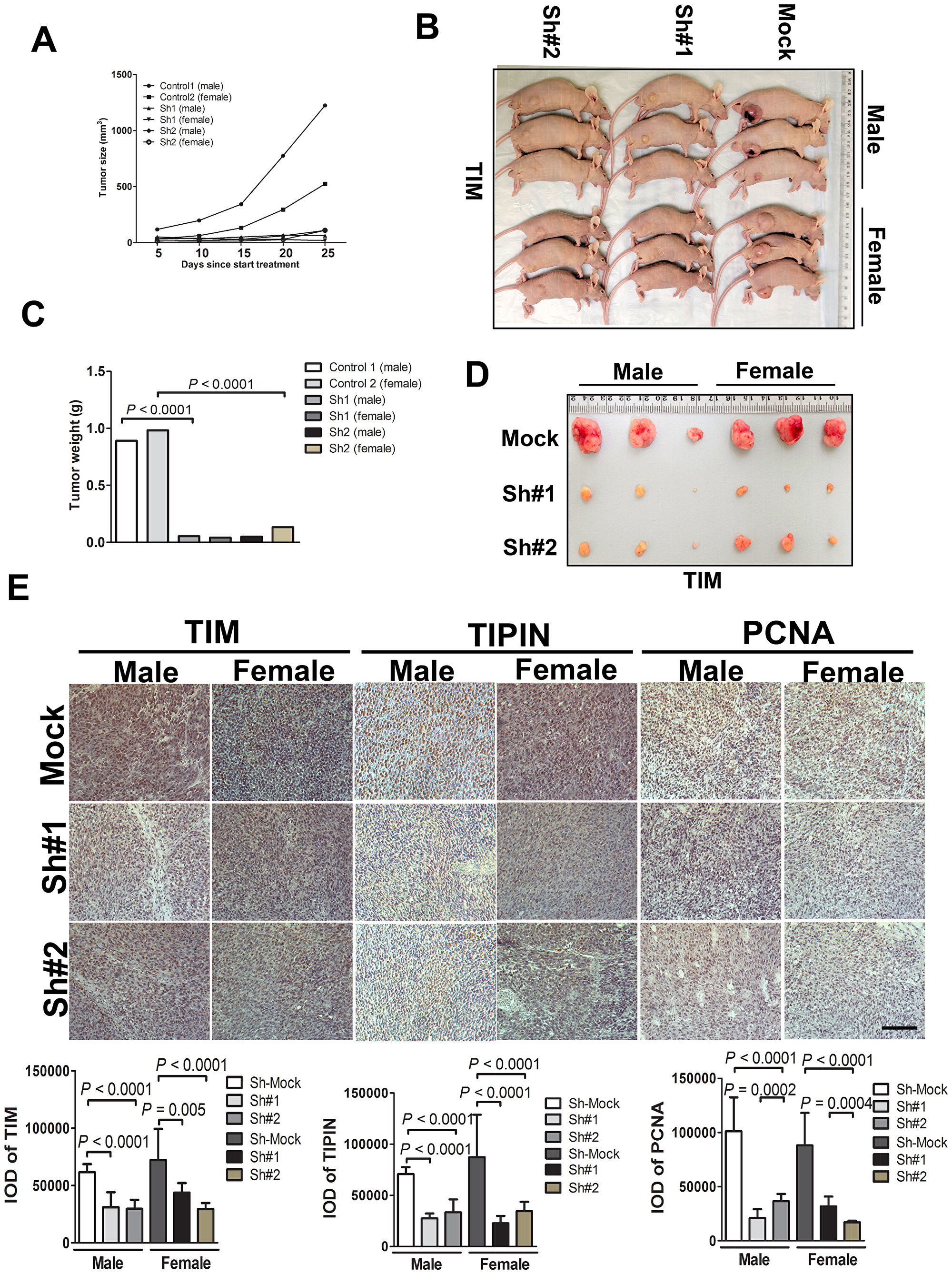 TIM knockdown diminishes tumorigenicity of melanoma cells in vivo.