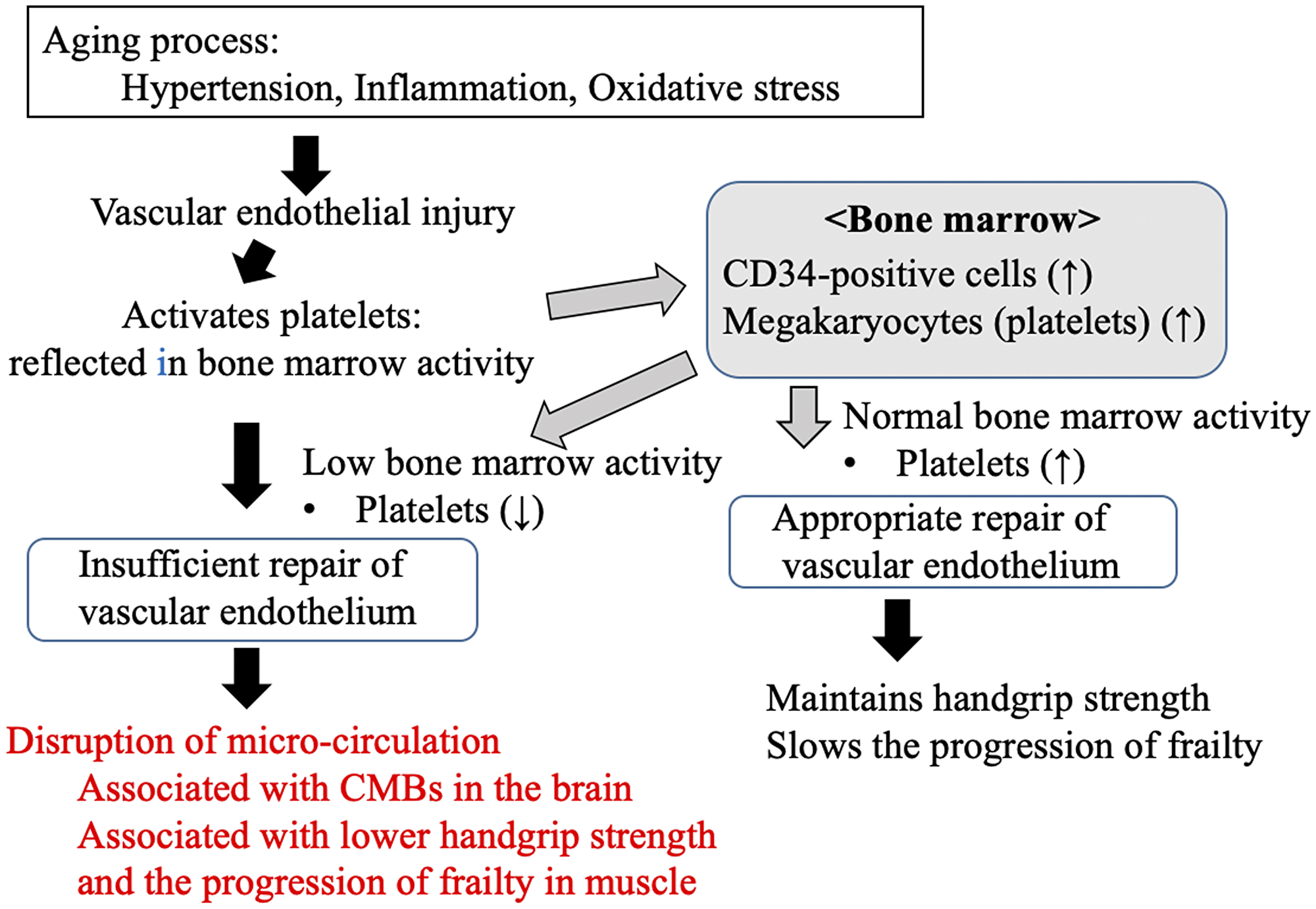 Possible mechanism underlying the links between the progression of frailty, handgrip strength, cerebral microbleeds, and platelet count, as an index of endothelial repair capability, in older people in the present study.