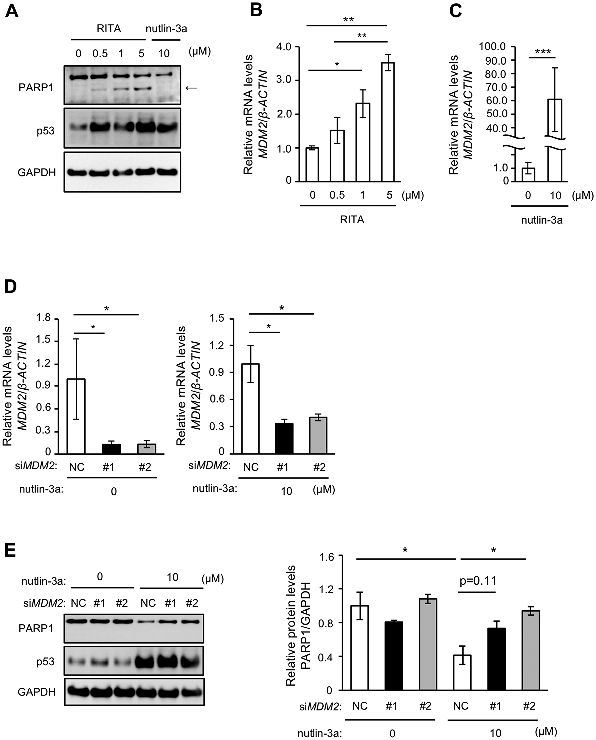 MDM2 is involved in nutlin-3a-induced PARP1 protein reduction.