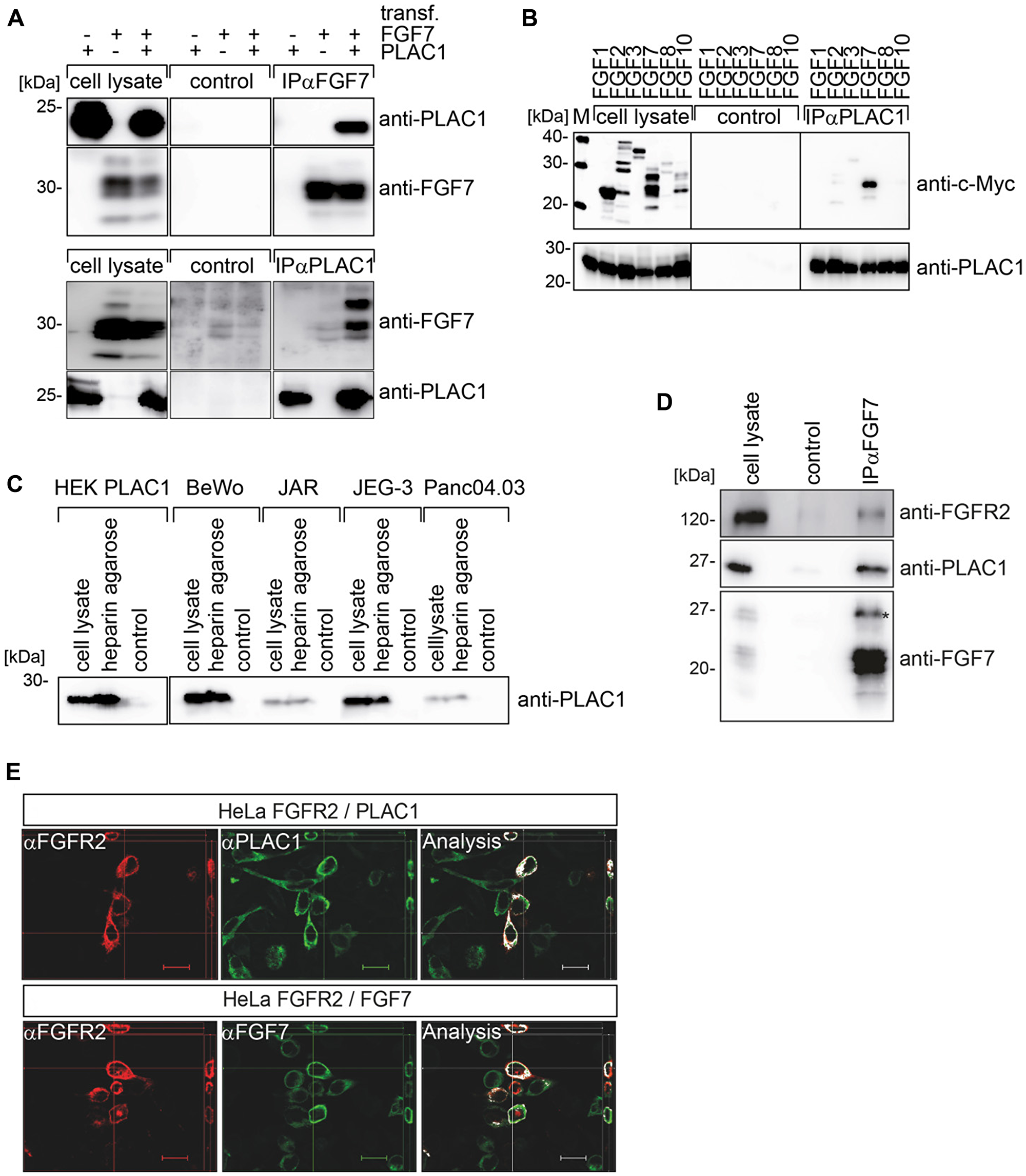 PLAC1 forms a trimeric complex with FGF7 and FGFR2IIIb in vivo.