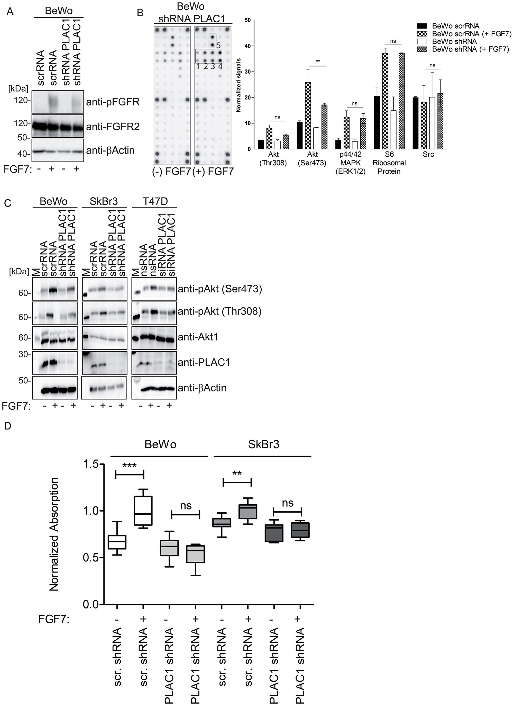 PLAC1 activates AKT phosphorylation in breast cancer and placental cells via FGFR2IIIbR signaling and mediates proliferation.