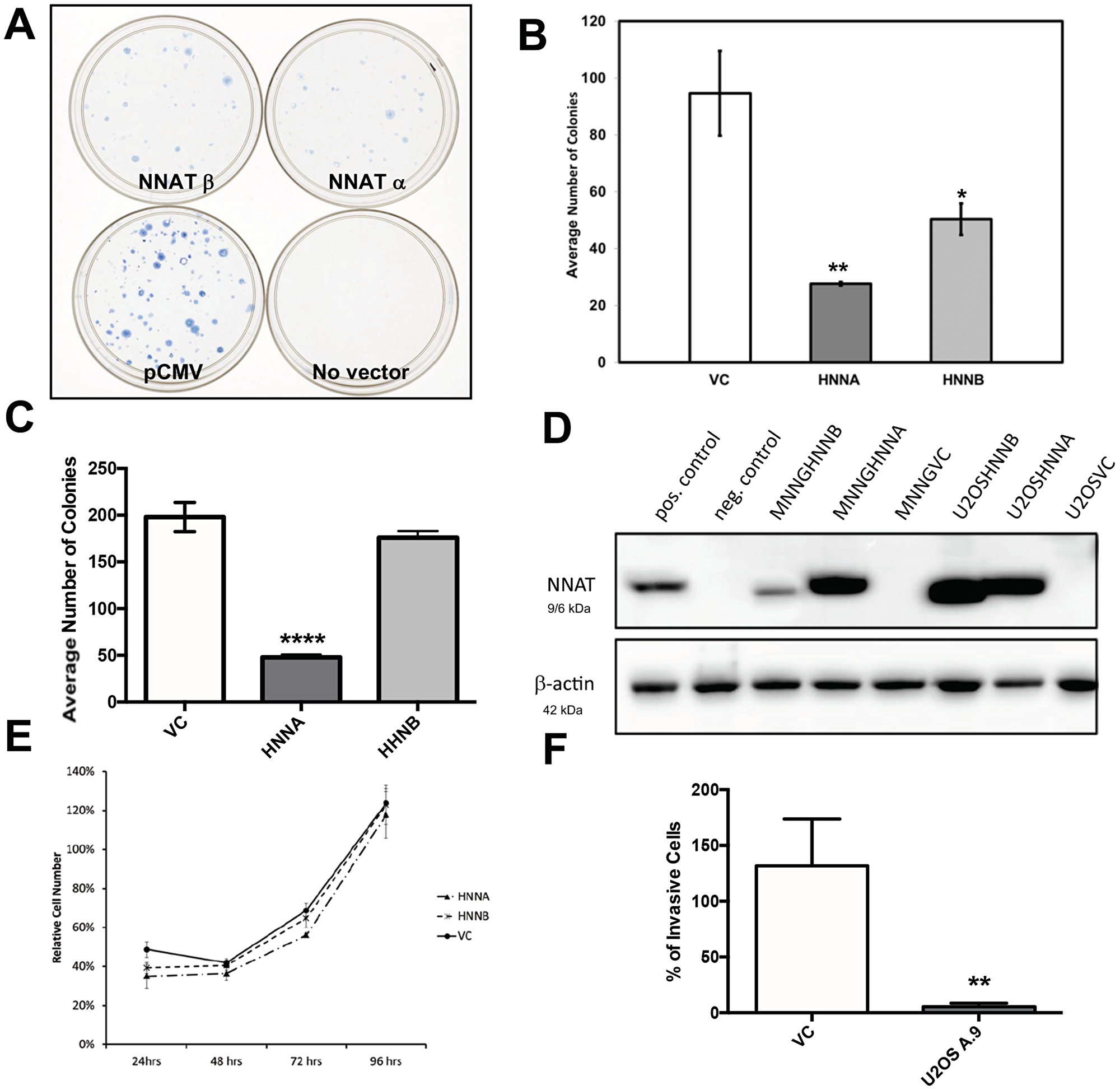 Enforced expression of NNAT in human osteosarcoma cells inhibits clonogenicity and migration, but does not slow proliferation.