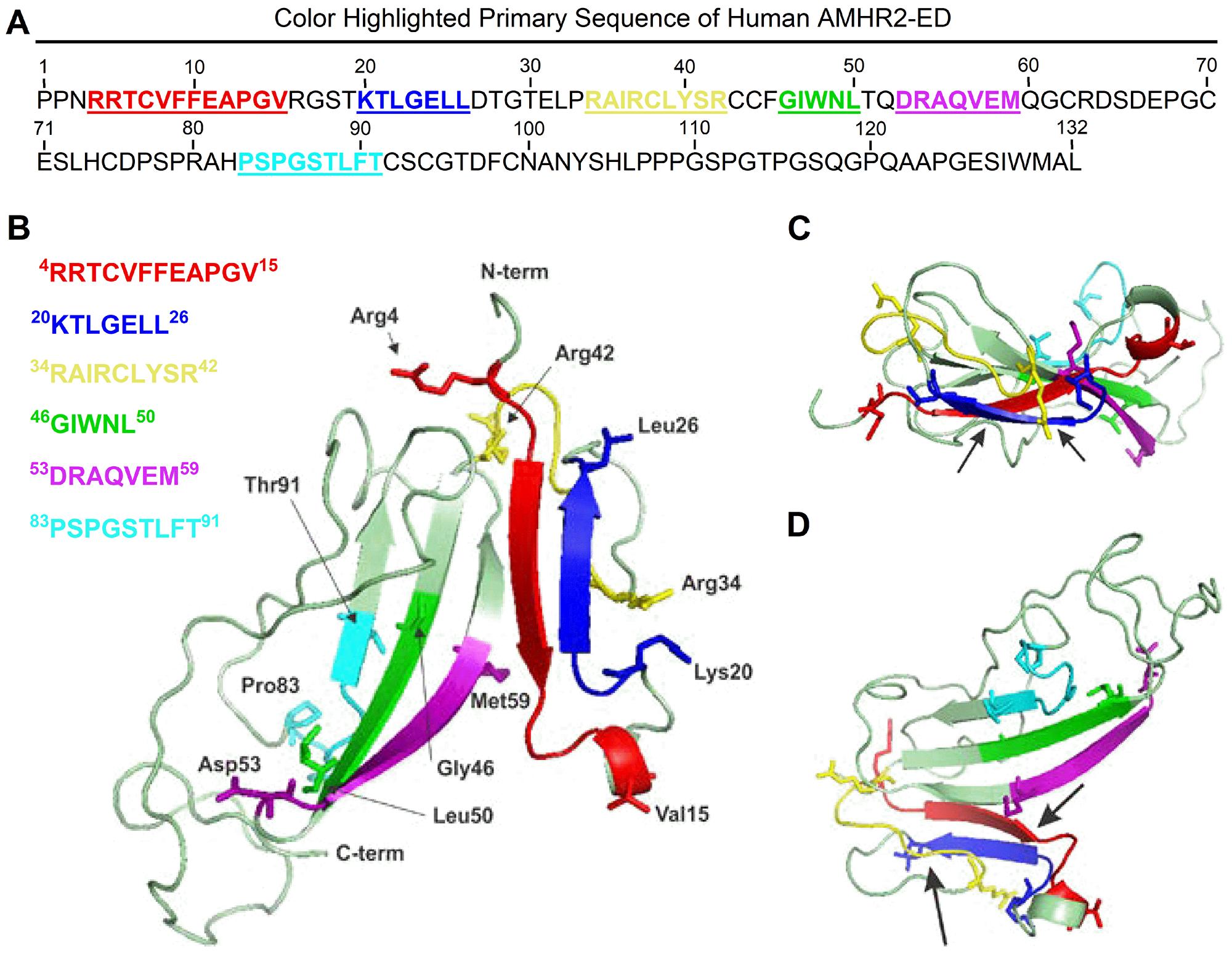 Molecular modeling of human AMHR2-ED.