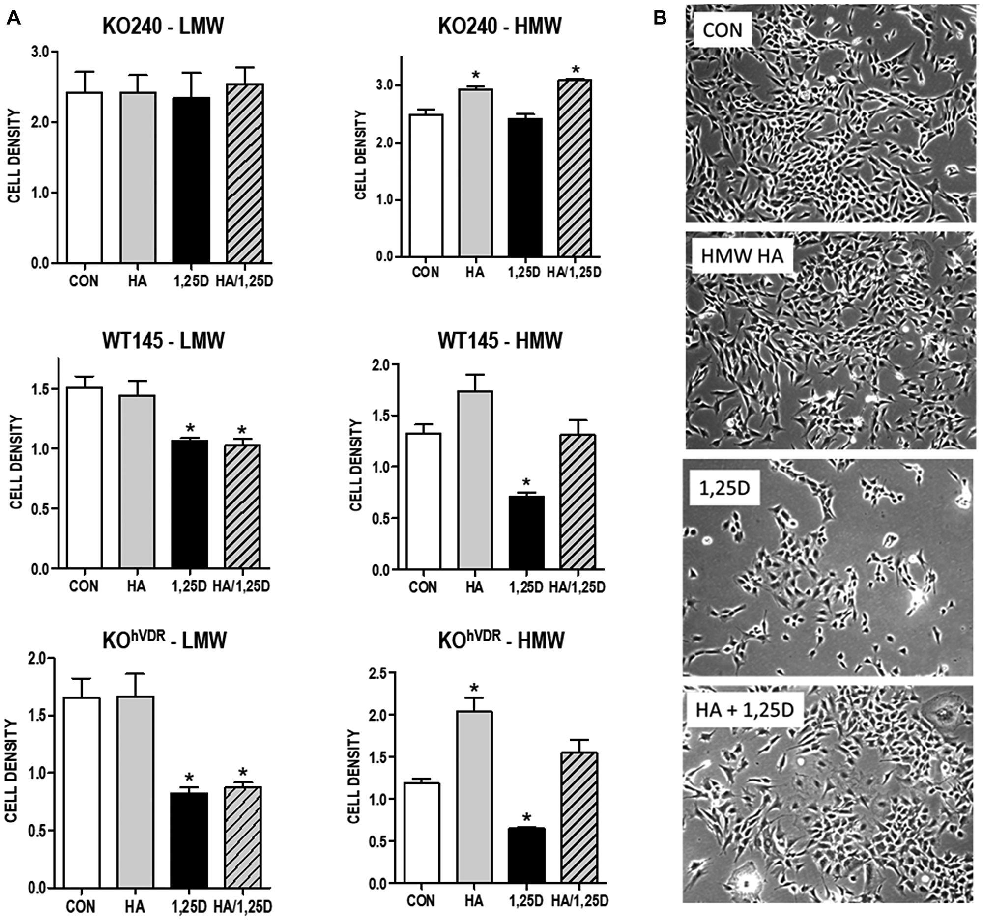 Effect of exogenous HA ± 1,25D3 on growth and morphology of mammary tumor cells.