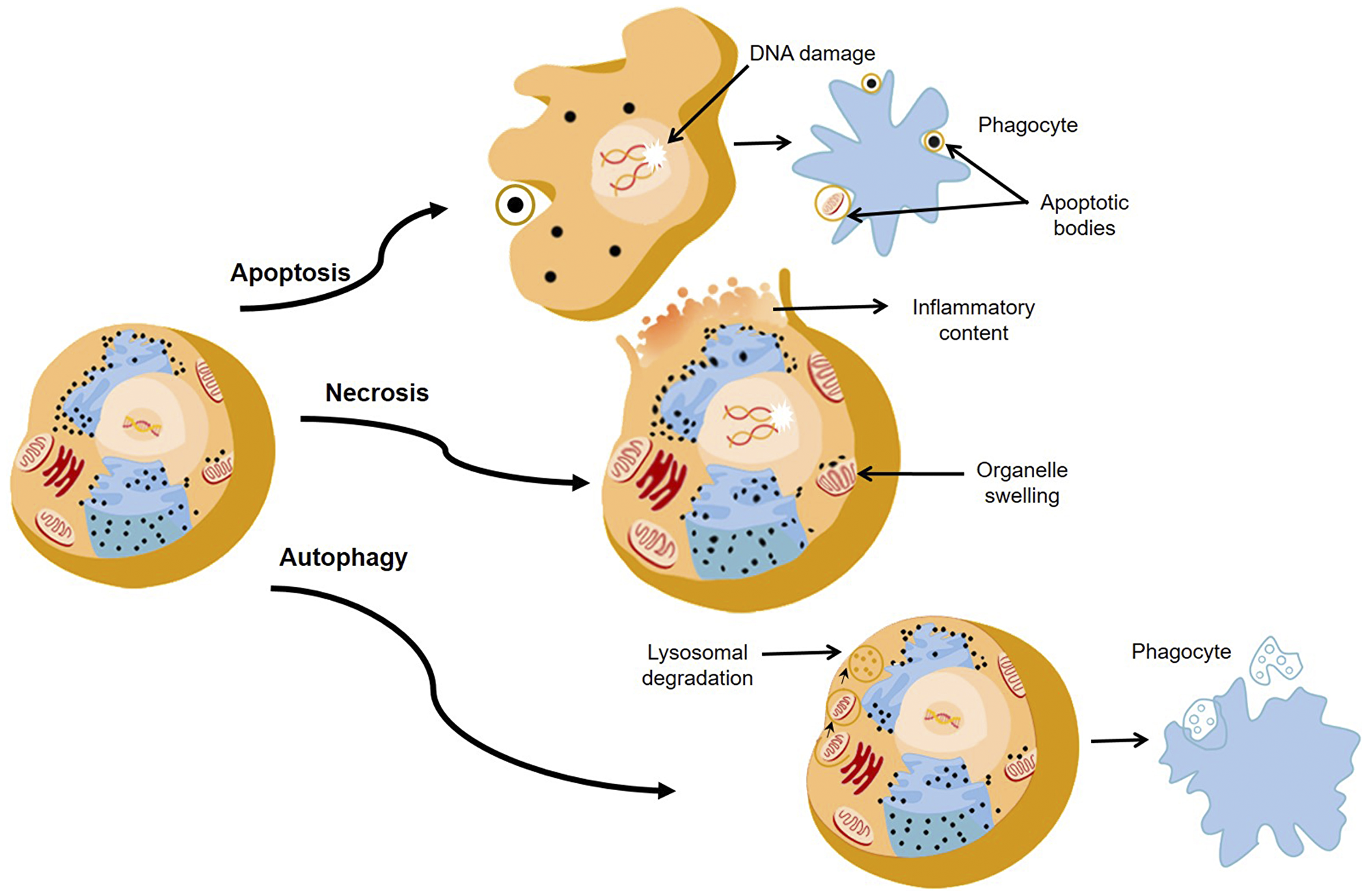 The major pathways of death cells through apoptosis, necrosis, and autophagy.