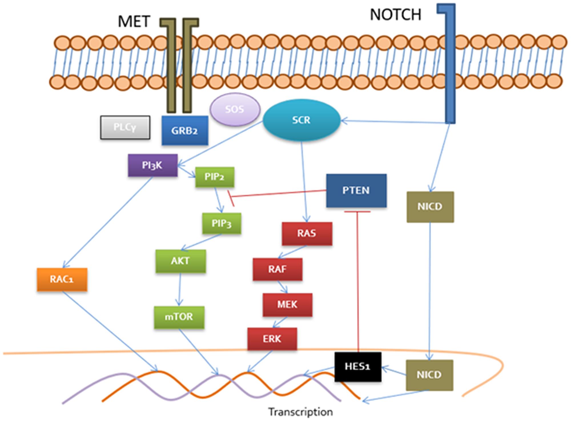 Cross-talk between MET/NOTCH pathways MET recruit PLCγ, GRB2 and SOS which activate DAG receptors (PKC), RAS/RAF/MEK, PI3K/RAC and Akt/mTOR.