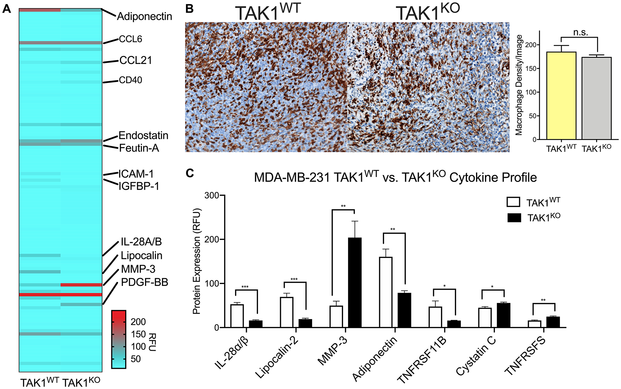 TAK1 changes cytokine expression of THP-1 macrophages without affecting their growth rates.