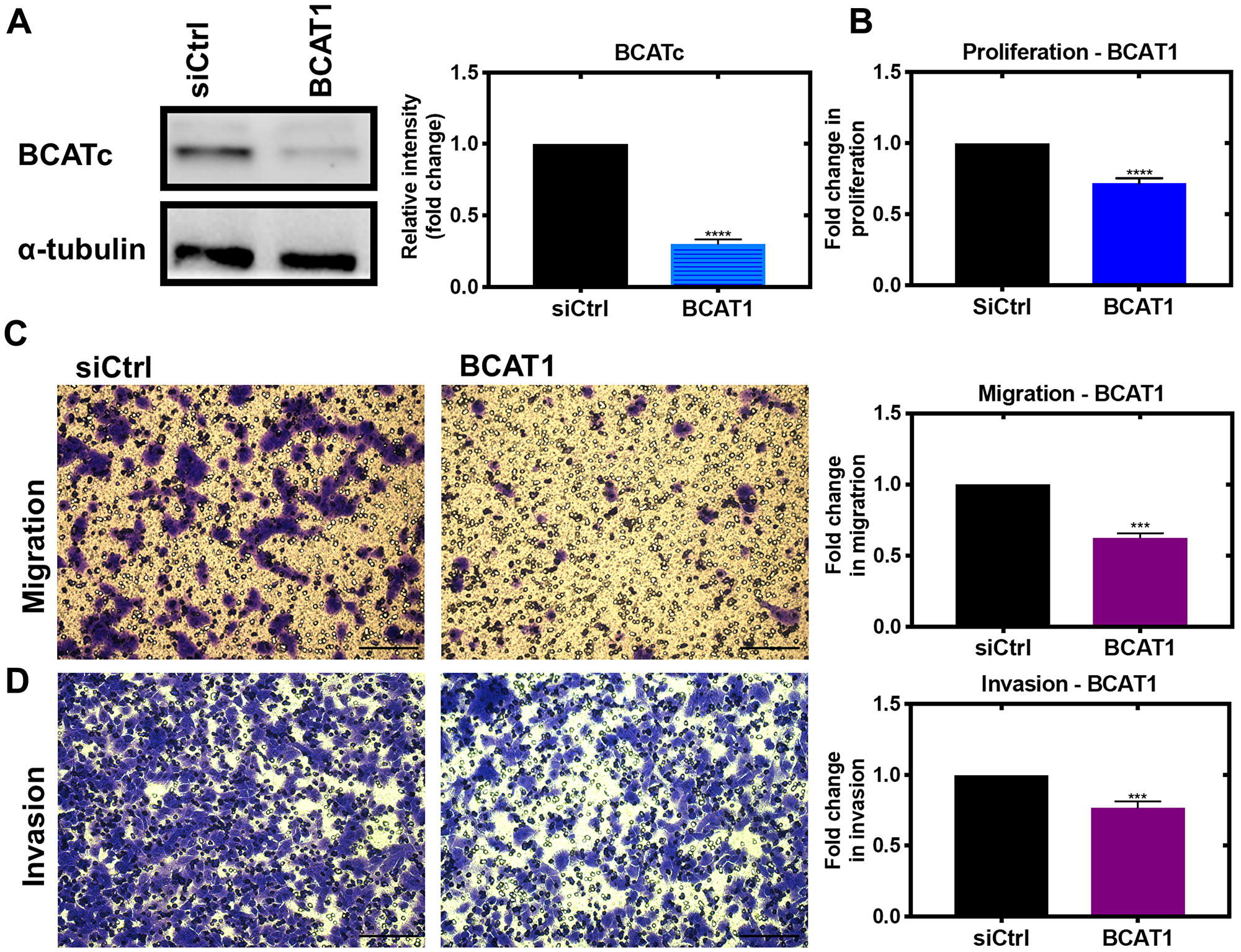 Knockdown of BCAT1 significantly reduces proliferation, migration and invasion of MDA-MB-231 cells.