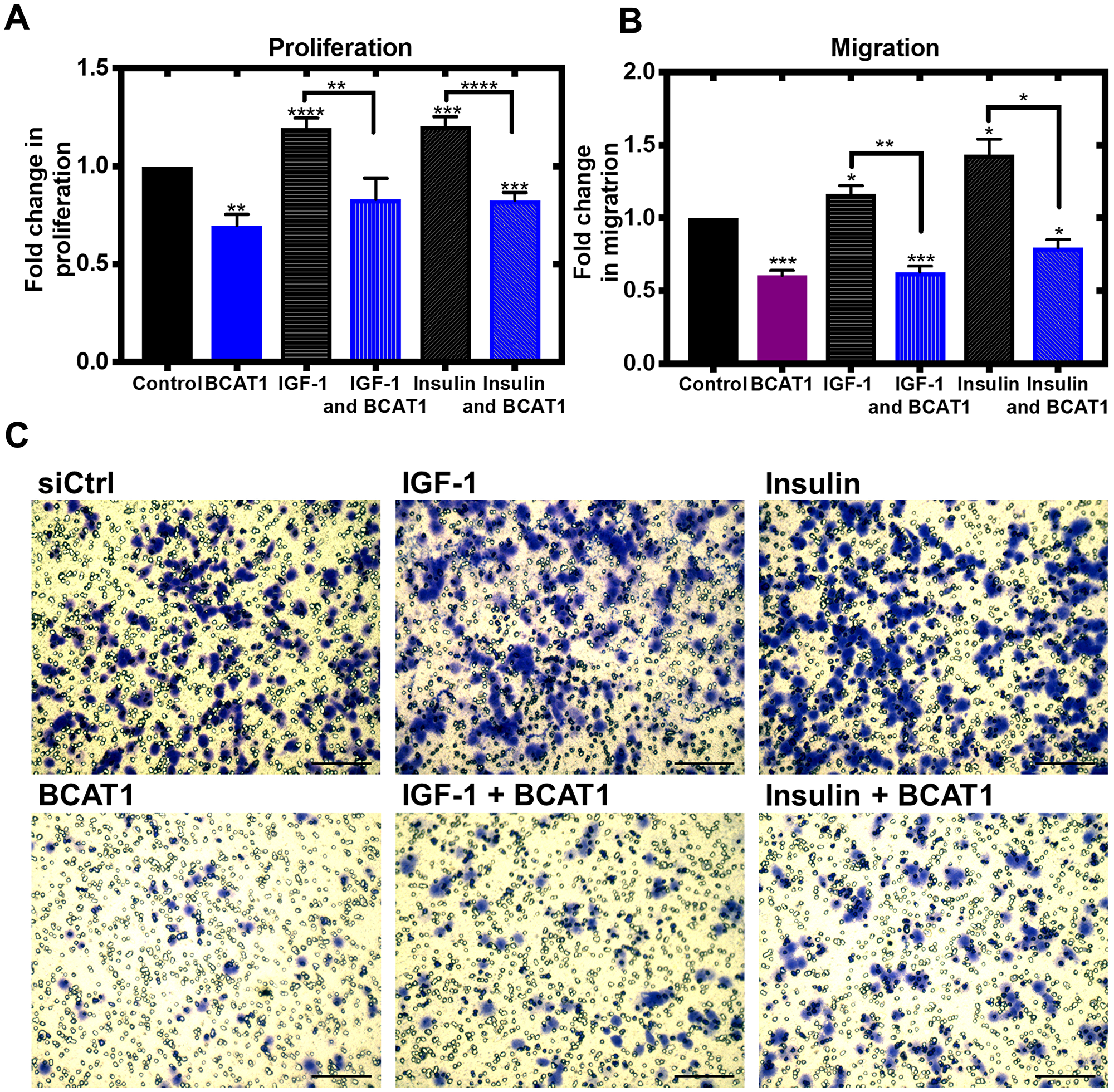 Knockdown of BCAT1 significantly reduces insulin and IGF-1-mediated migration of MDA-MB-231 cells.