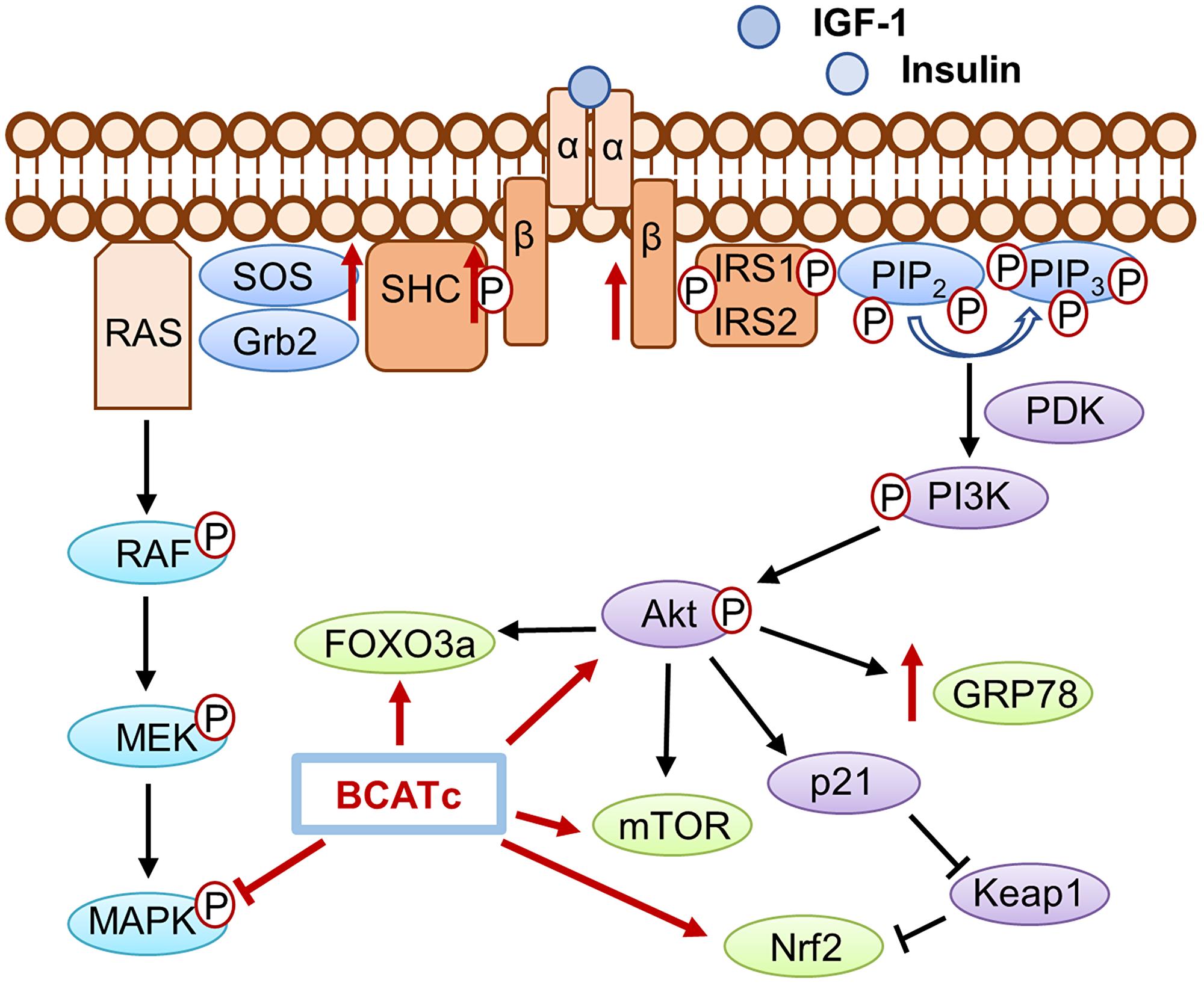 The role of BCATc on the insulin/IGF-1 signalling cascades.