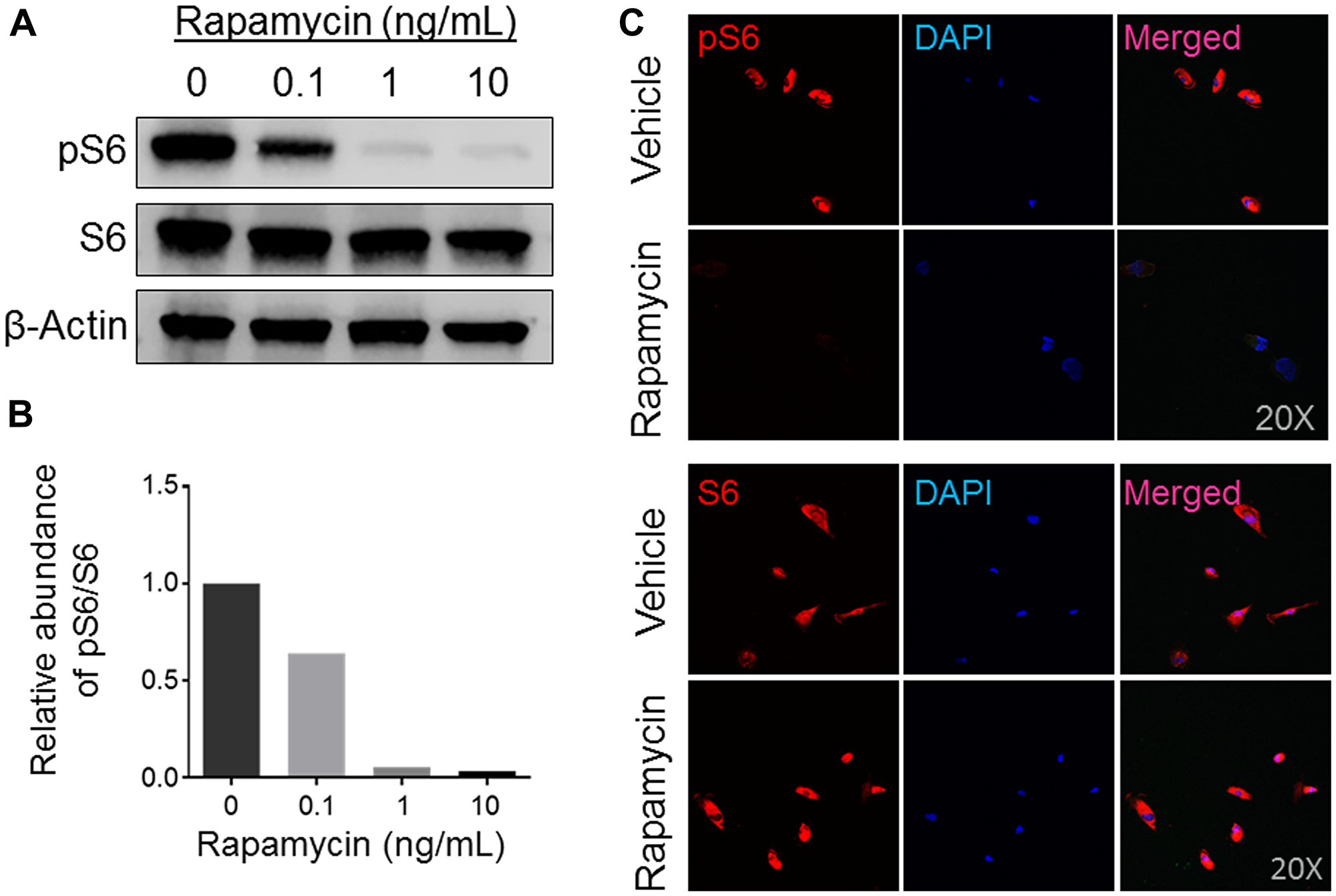 Expression analysis of mTOR activity in rapamycin-treated human osteosarcoma COS-33 cells.