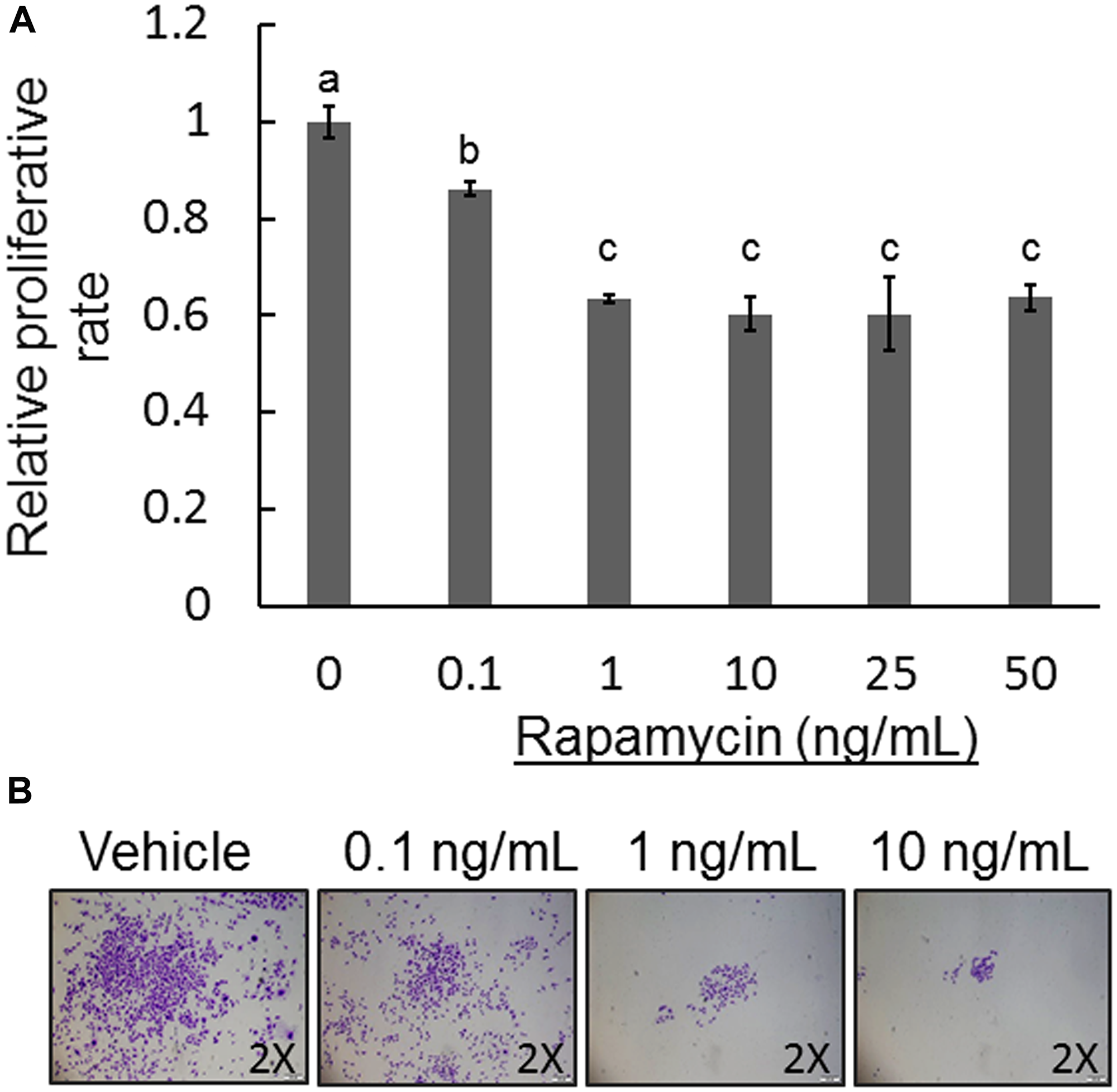 Effect of rapamycin on COS-33 cell proliferation and colony formation.
