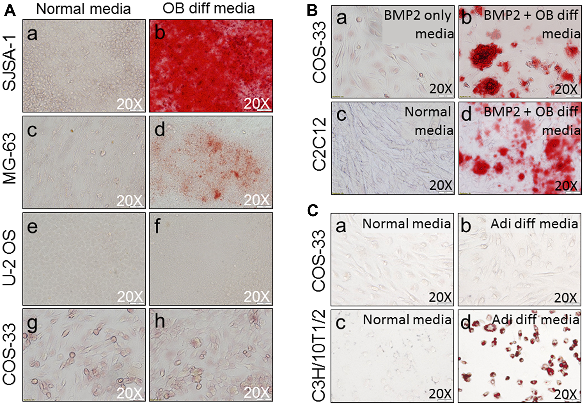 Functional characterization of the cells by osteogenic and adipocyte differentiation assays.