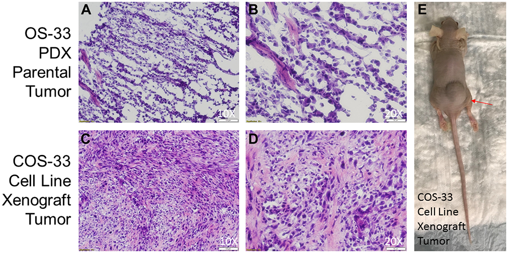 Photographs of histological sections of COS-33 tumors and the xenograft mouse.