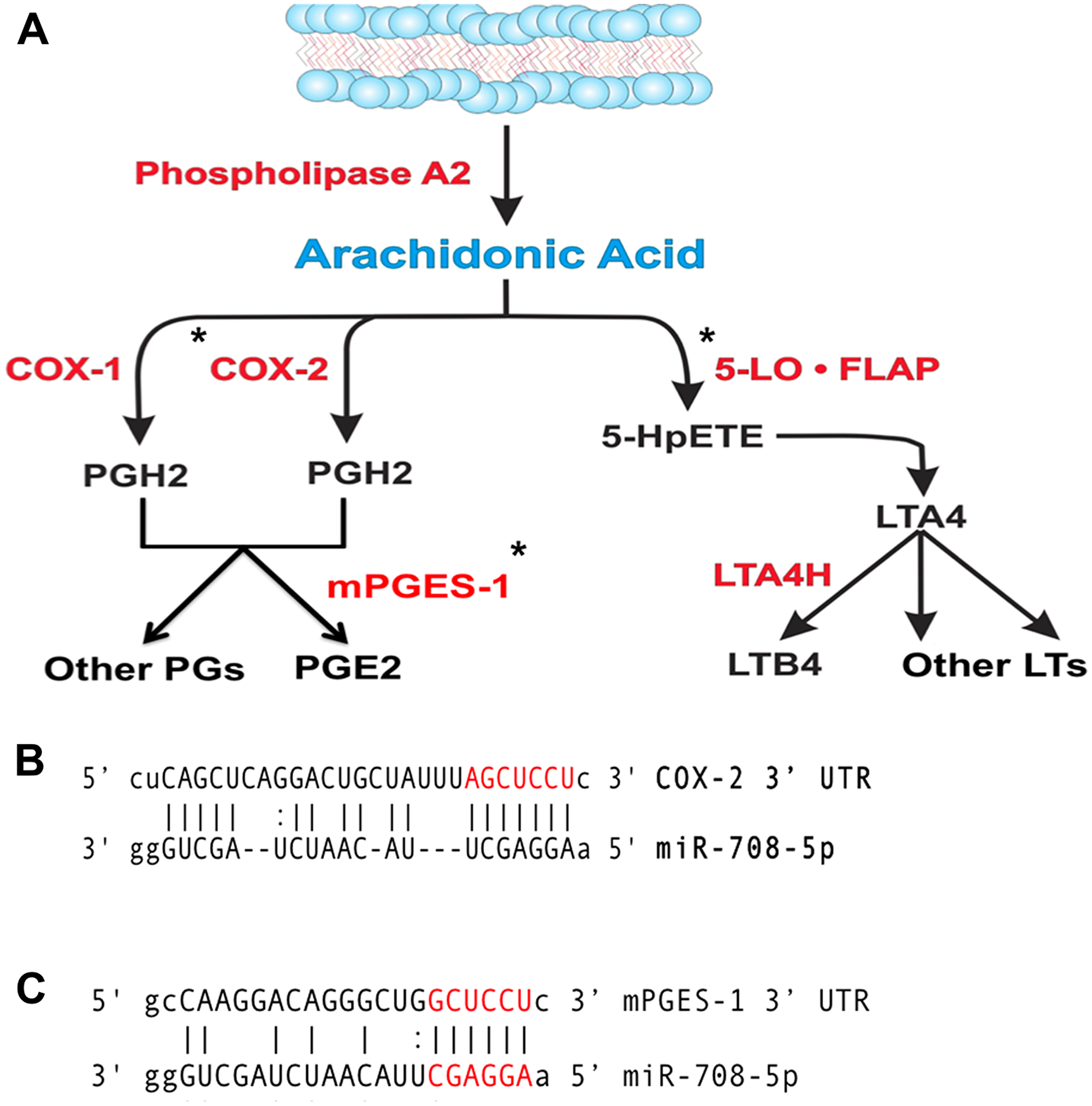 miR-708 is predicted to target the AA pathway.