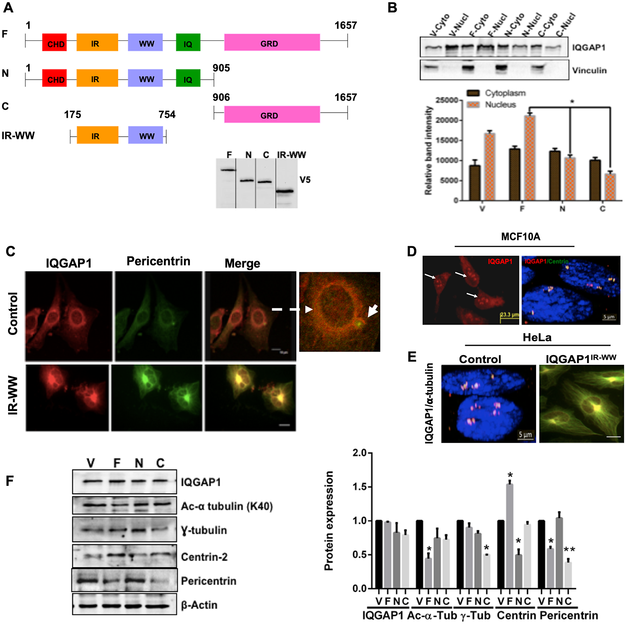 IQGAP1 localizes to the centrosome and modulates centrosome size and number.