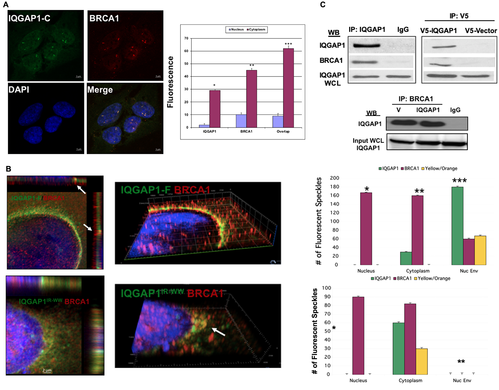 IQGAP1 interacts with and modulates the subcellular distribution of the centrosome marker BRCA1.