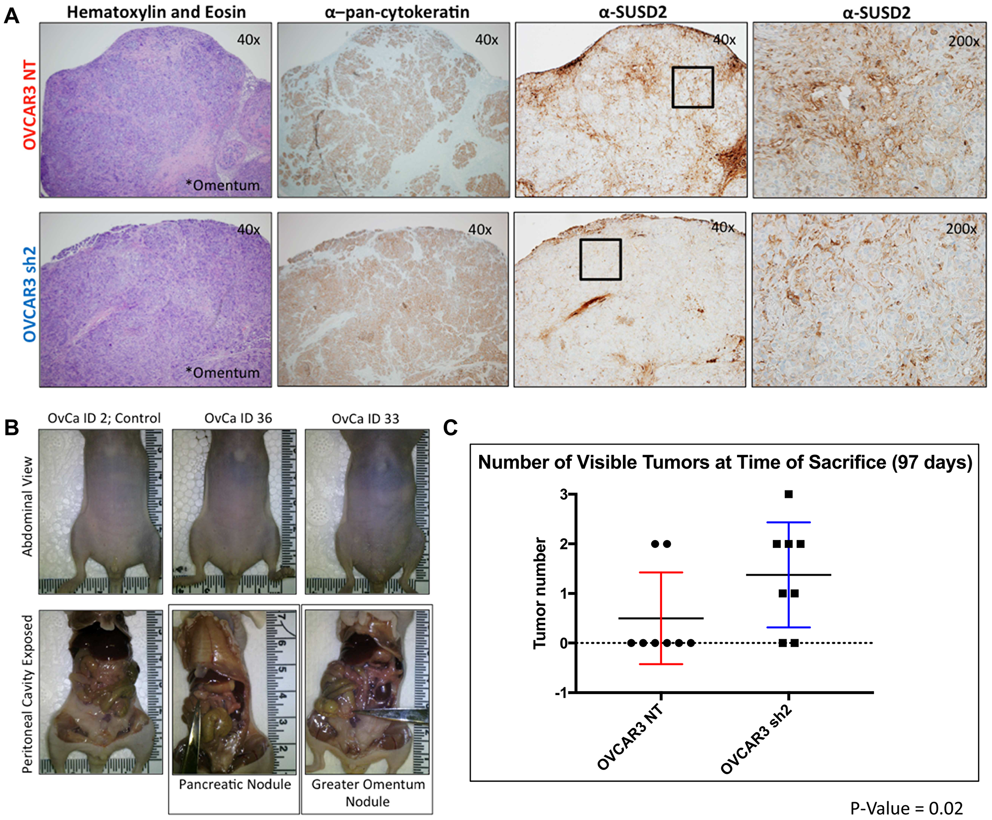 SUSD2-KD mice from Experimental Arm 1 had increased tumor formation.