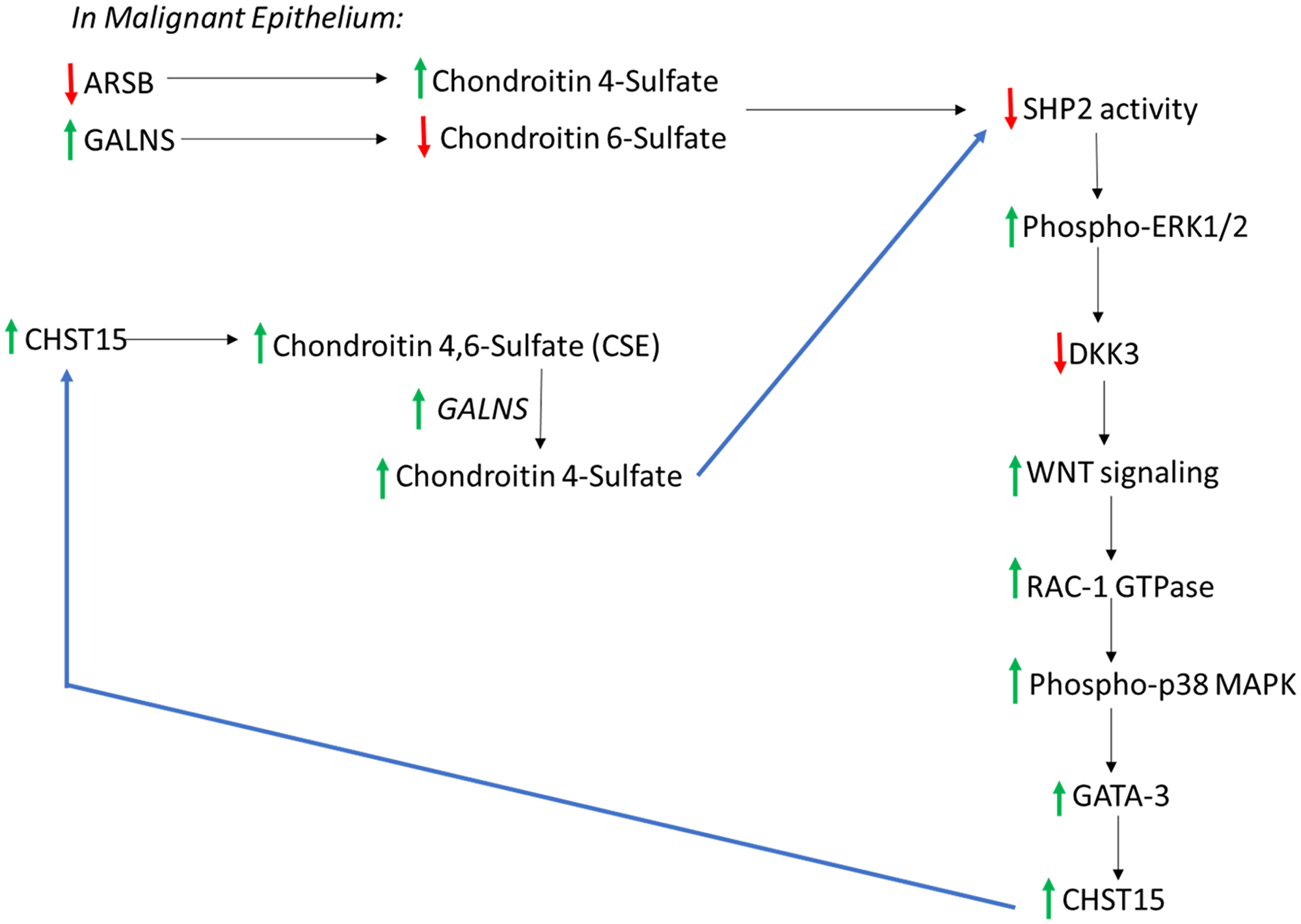 Overall connected pathways of chondroitin 4-sulfate (C4S), chondroitin-4,6-disulfate (CSE), ARSB, and GALNS which may contribute to EMT and progressive increase in SHP2 inhibition.