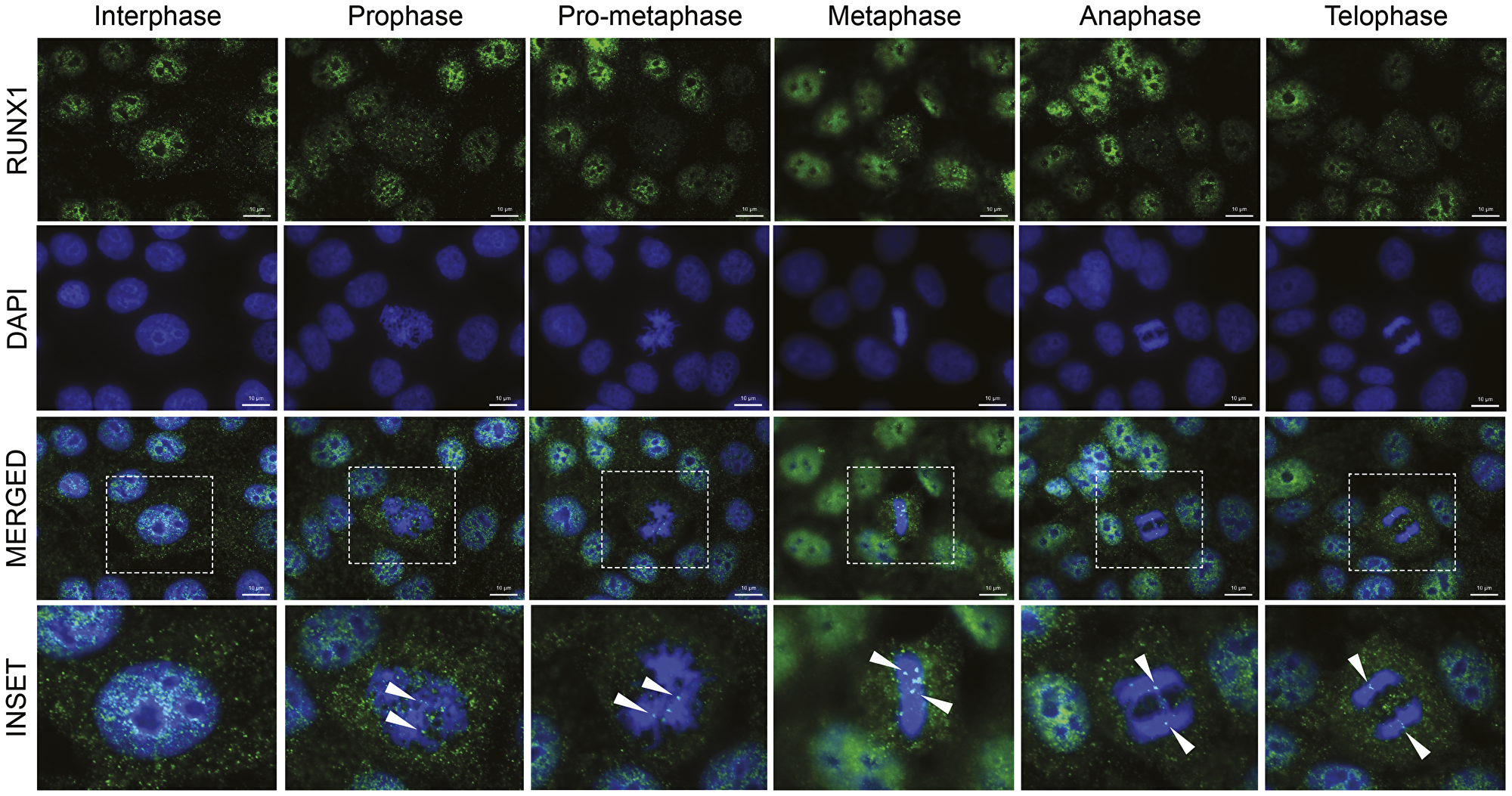 RUNX1 localizes to punctate subnuclear foci in interphase and dynamically redistributes throughout mitosis in the form of major and minor foci.