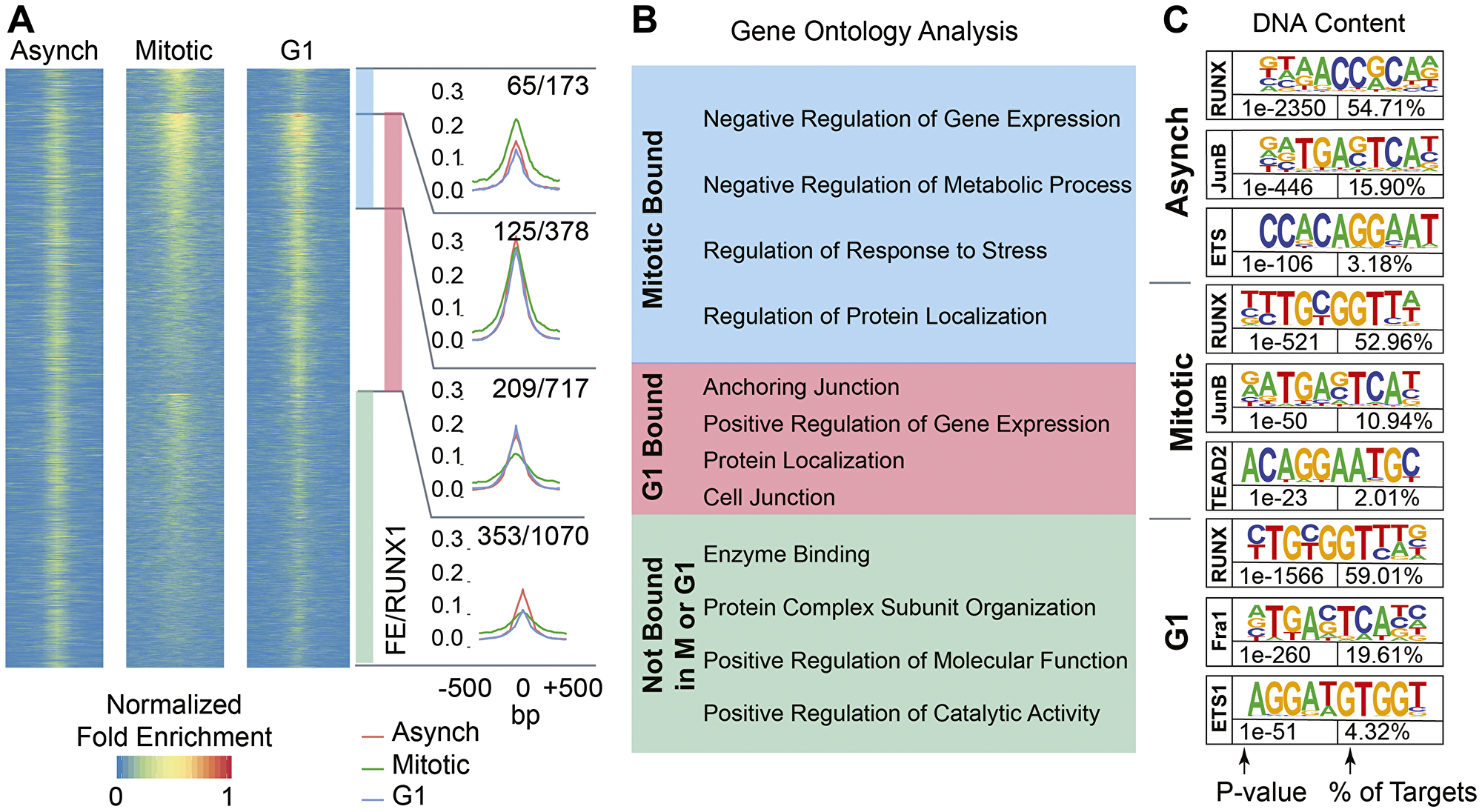 RUNX1 occupies protein coding genes and long non-coding RNAs across asynchronous, mitotic, and G1 populations of MCF10A breast epithelial cells.