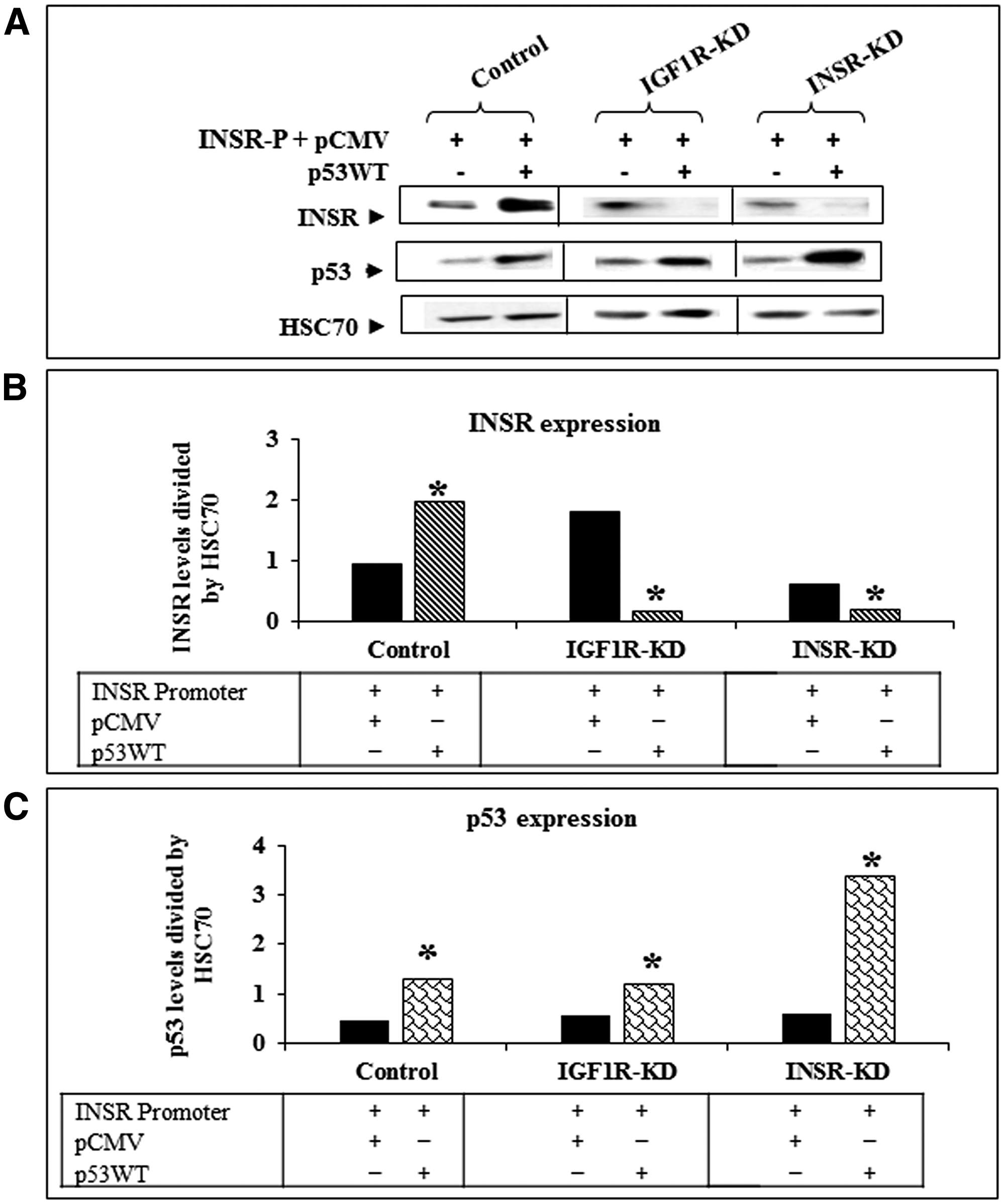 Effect of wild-type p53 transfection on INSR protein expression.