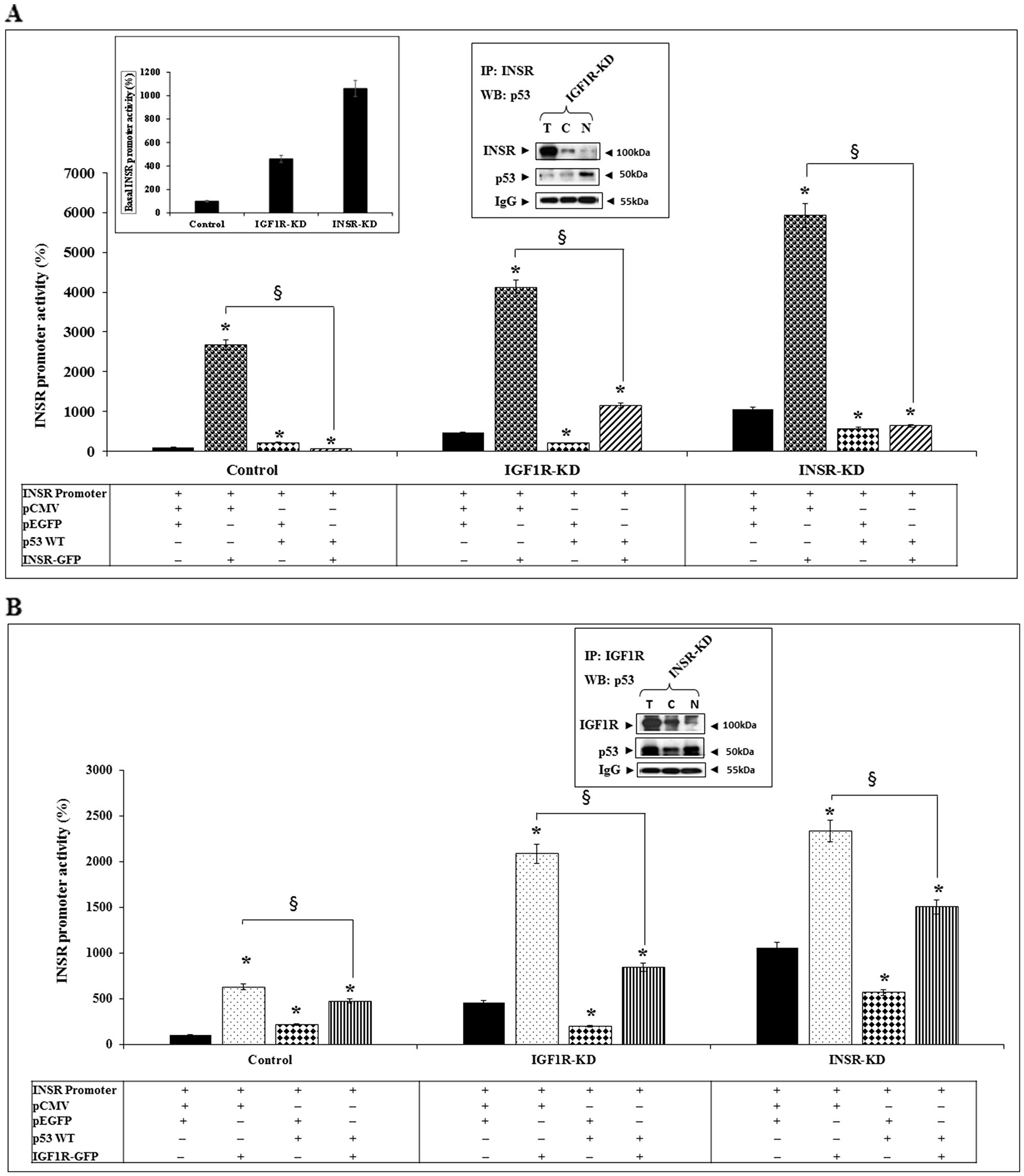Functional interactions between INSR/IGF1R and p53 in regulation of INSR promoter activity.