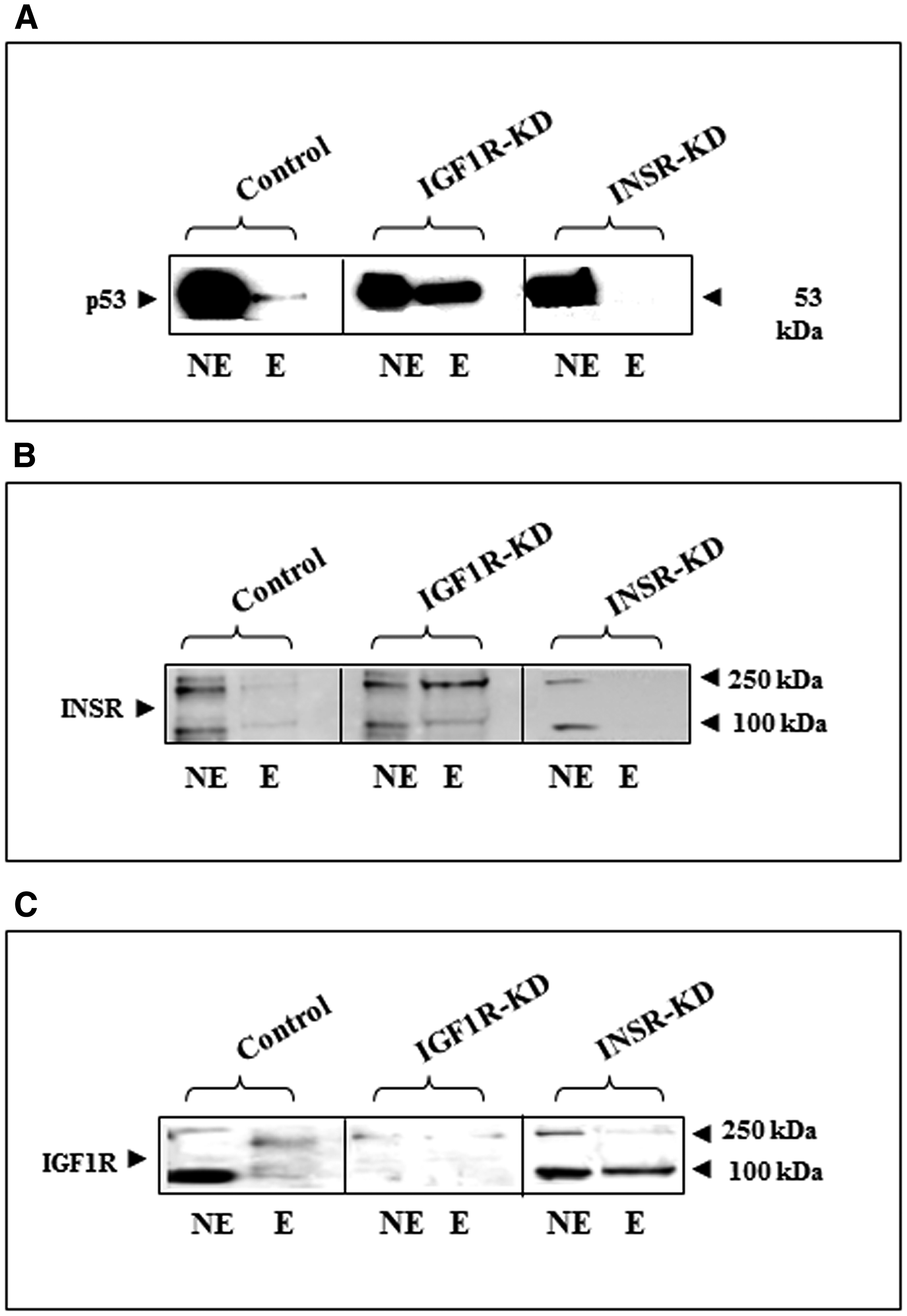 Physical interactions between p53, INSR/IGF1R and the INSR promoter region.