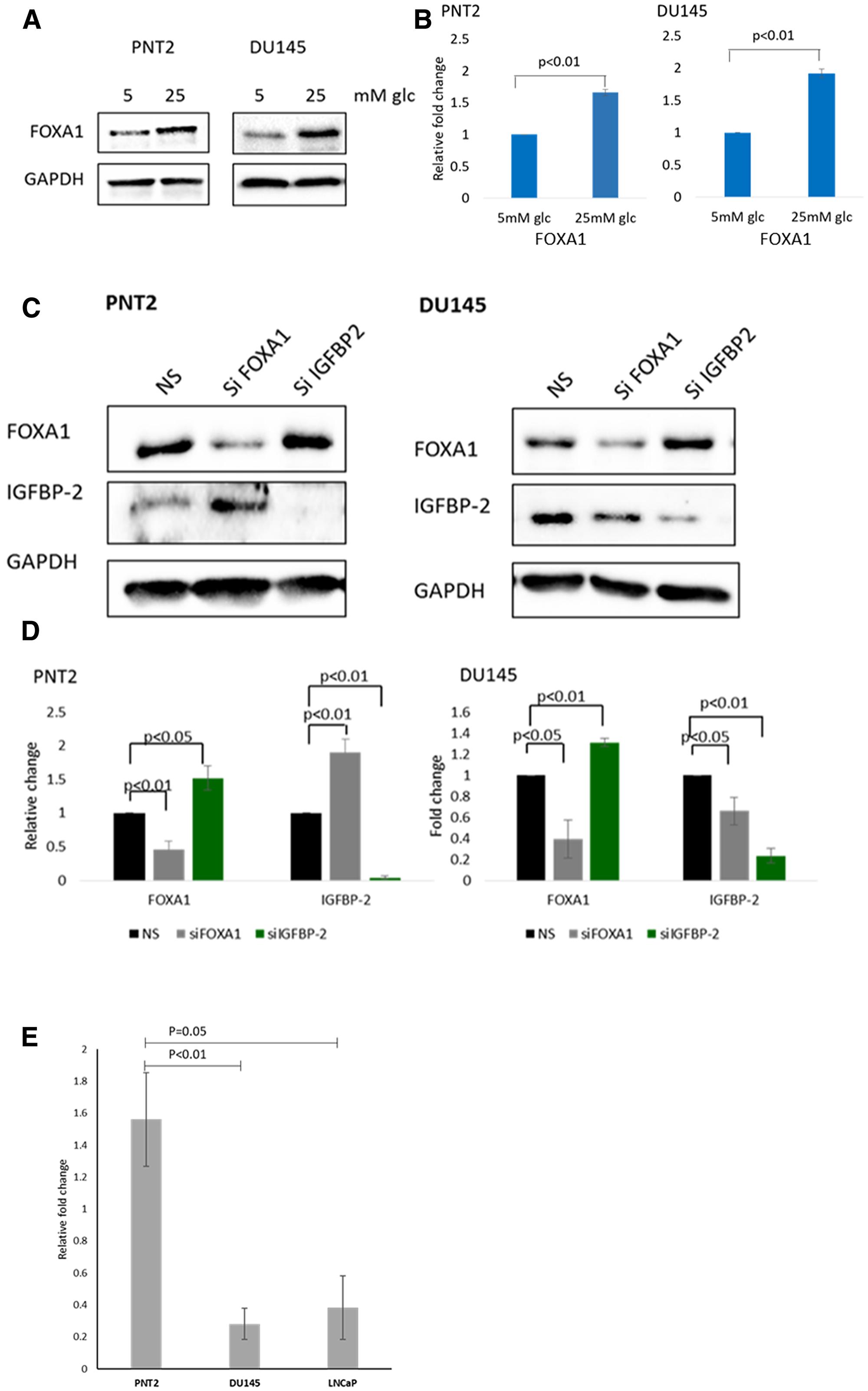 Association between IGFBP-2 and FOXA1.