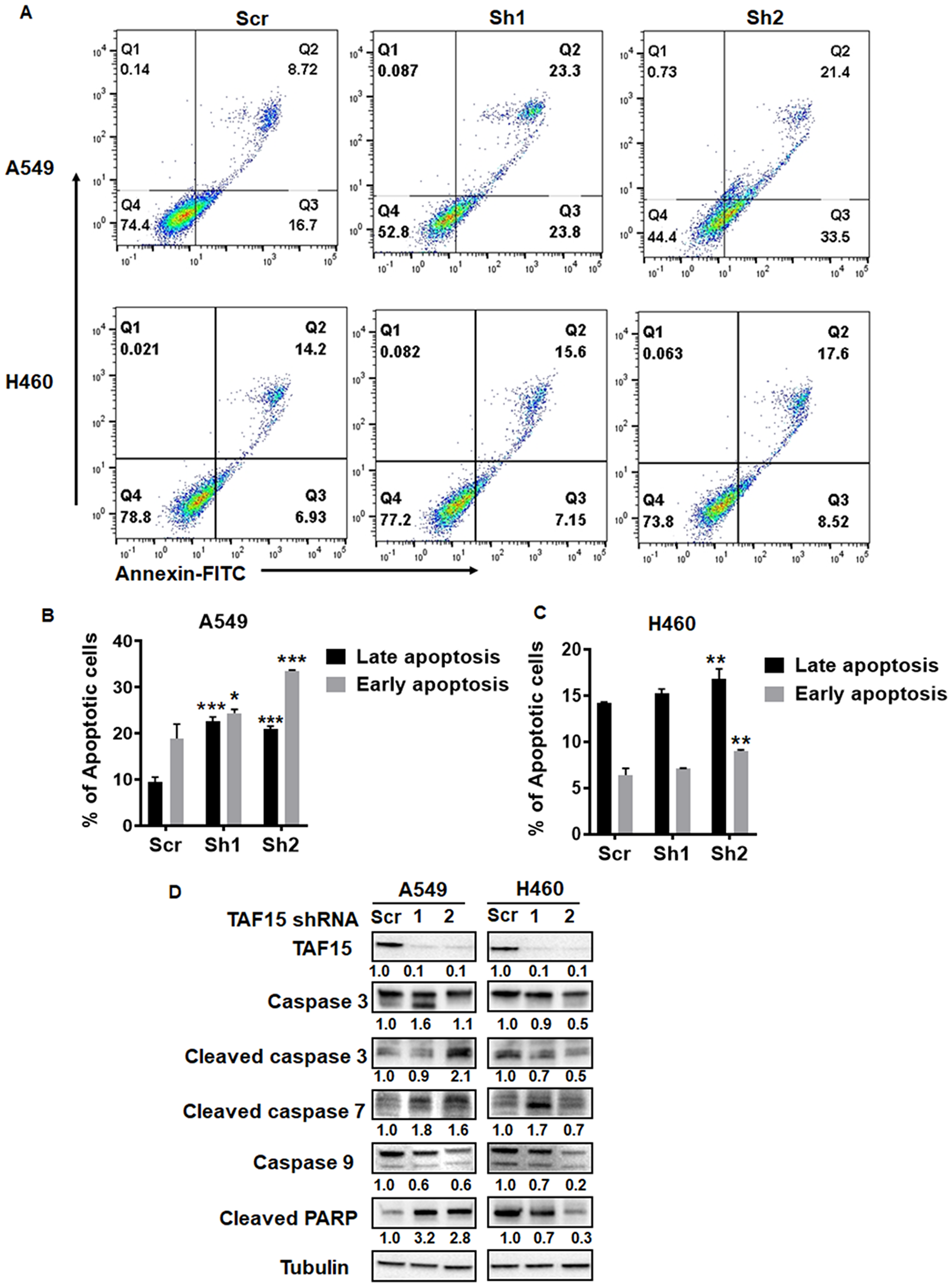 TAF15 silencing induces apoptosis in A549 and H460 cells.