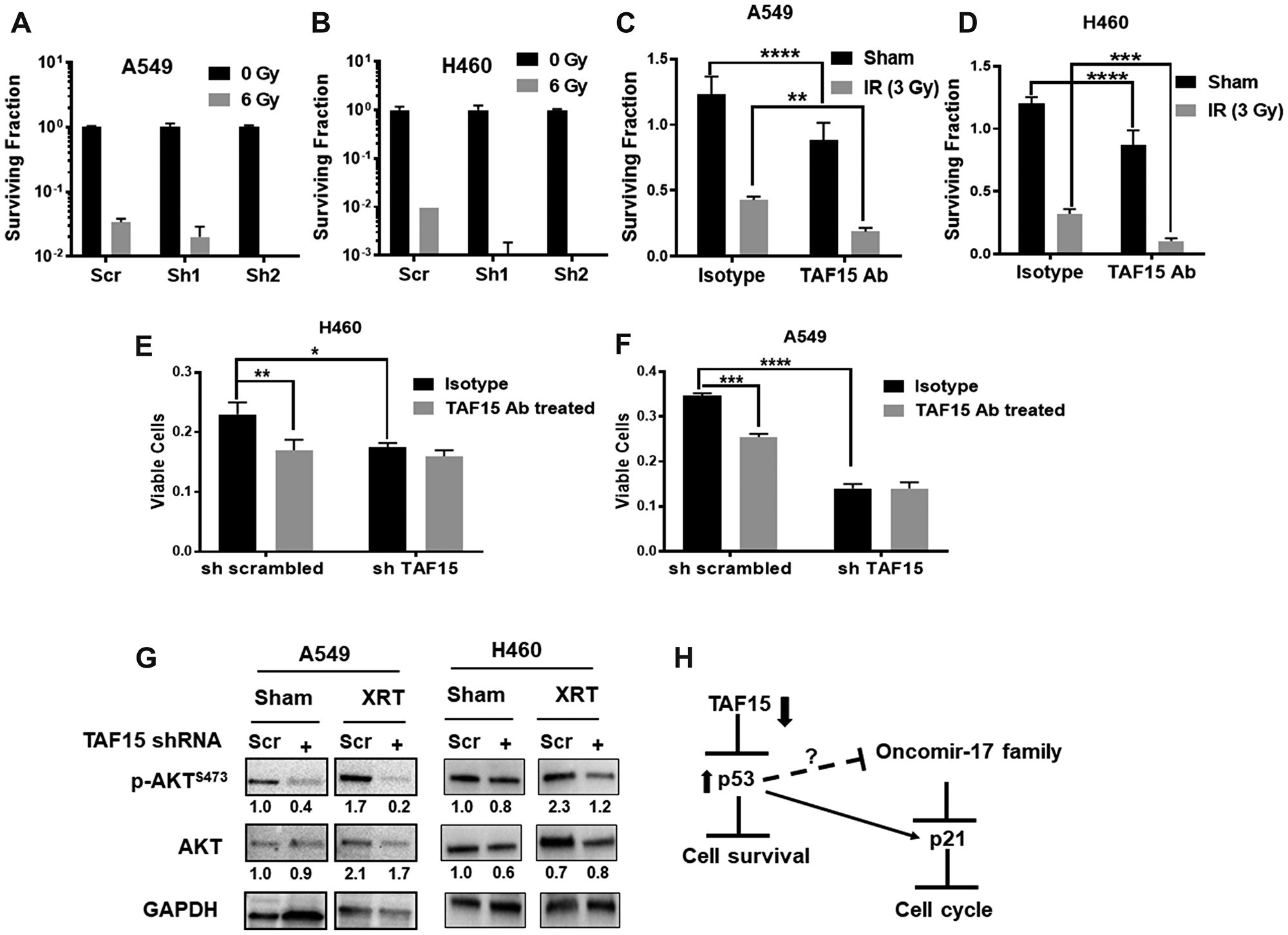 TAF15 silencing and anti-TAF15 antibody treatment sensitize NSCLC cells to radiation.