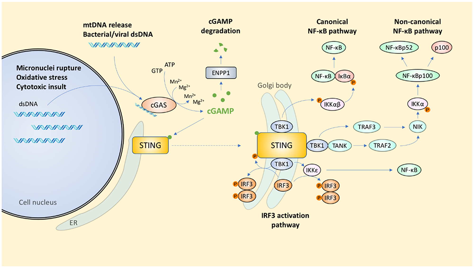 Signal transduction coordinated by the cGAS-STING pathway.