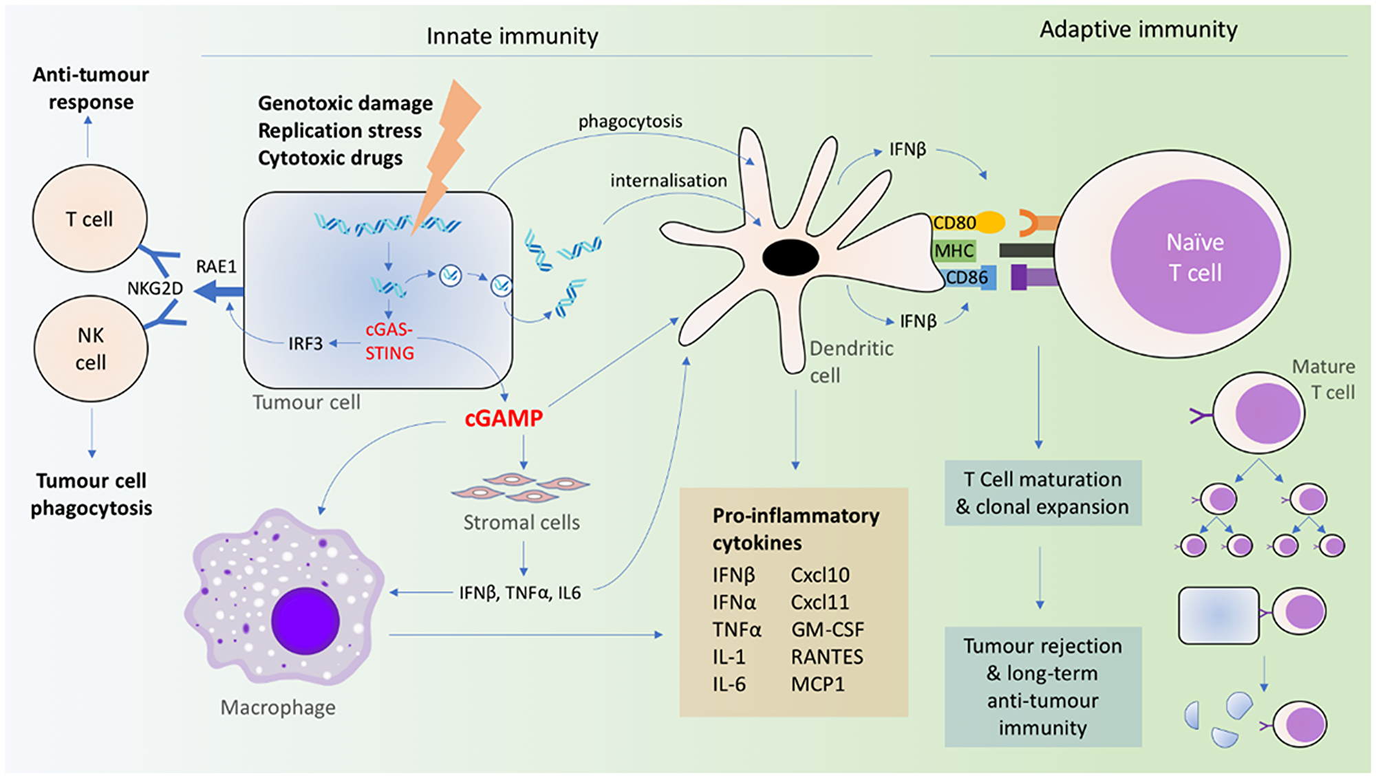 Coordination of innate and adaptive immune signaling resulting from cGAS-STING activation.