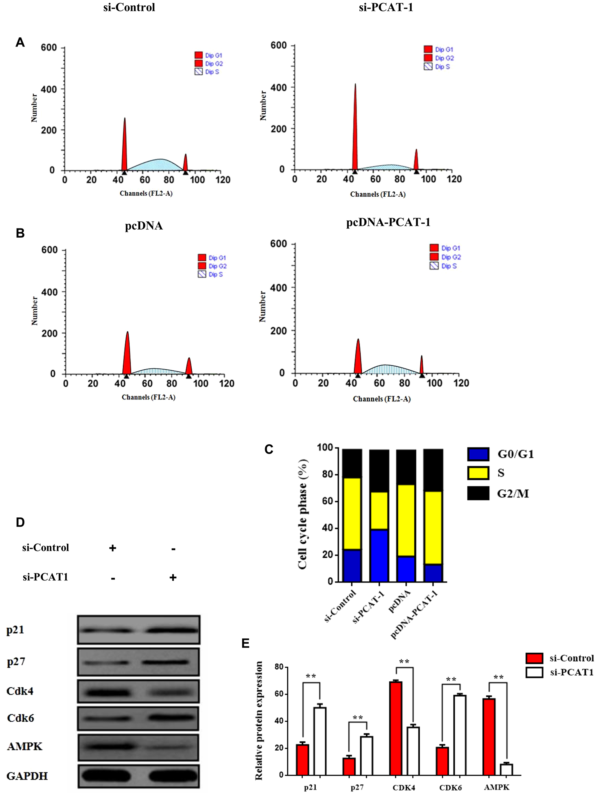 PCAT-1 negative regulates p27/CDK6 by inducing G0/G1 cell cycle arrest through AMPK amplification.