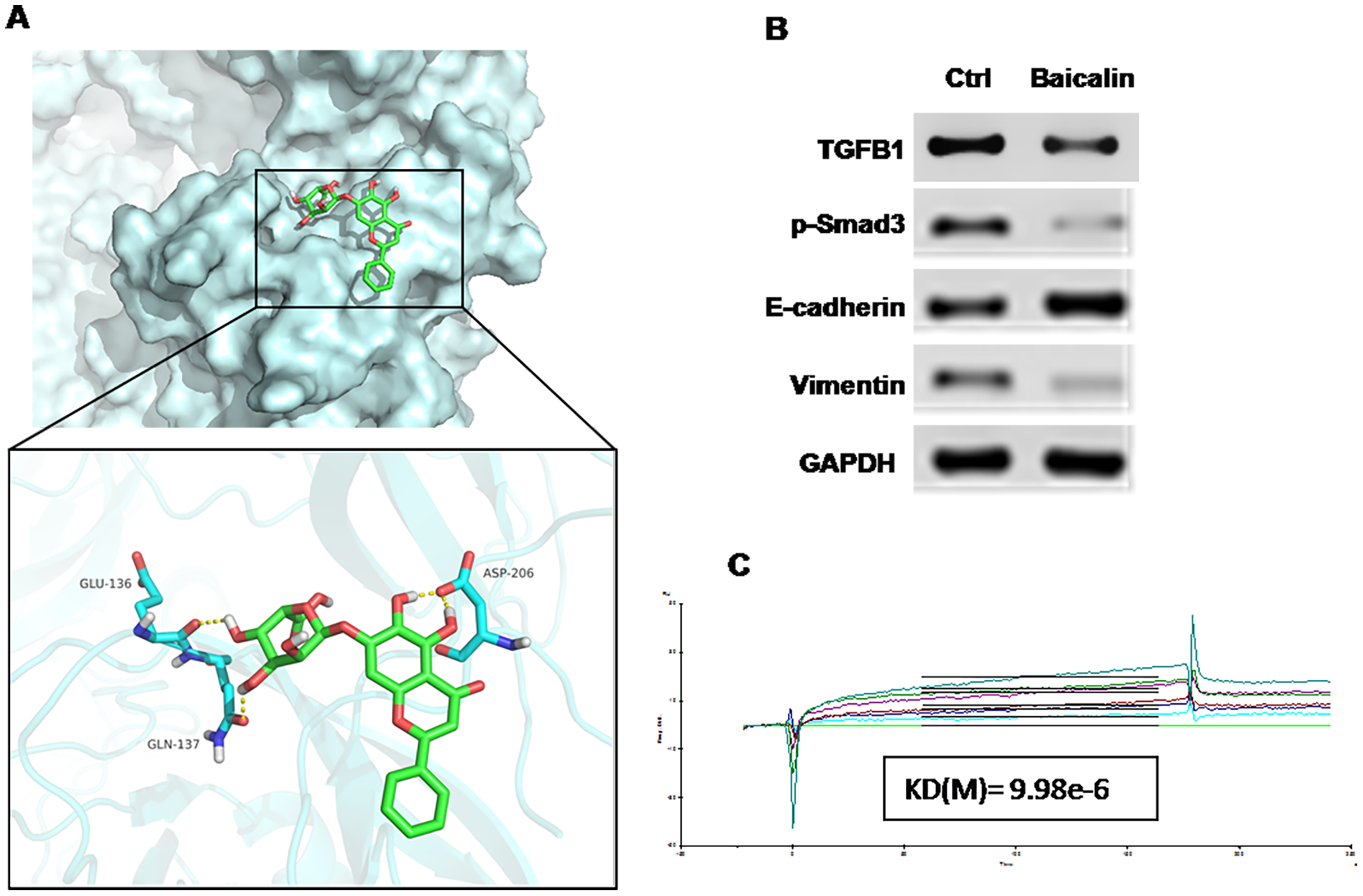 Baicalin suppressed EMT in breast cancer via targeting the TGF-β1/Snail1 pathway.