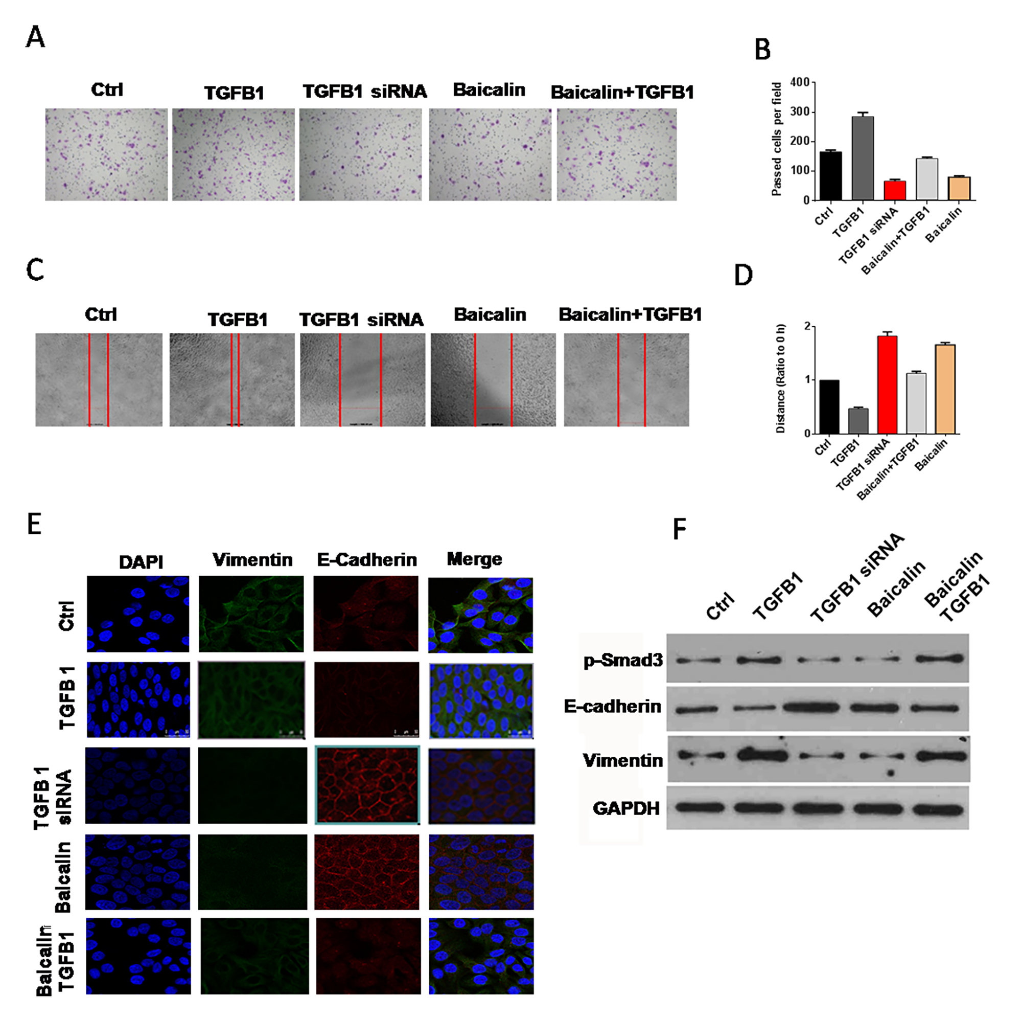 Baicalin counteracted the effect of TGF-β1 on EMT.