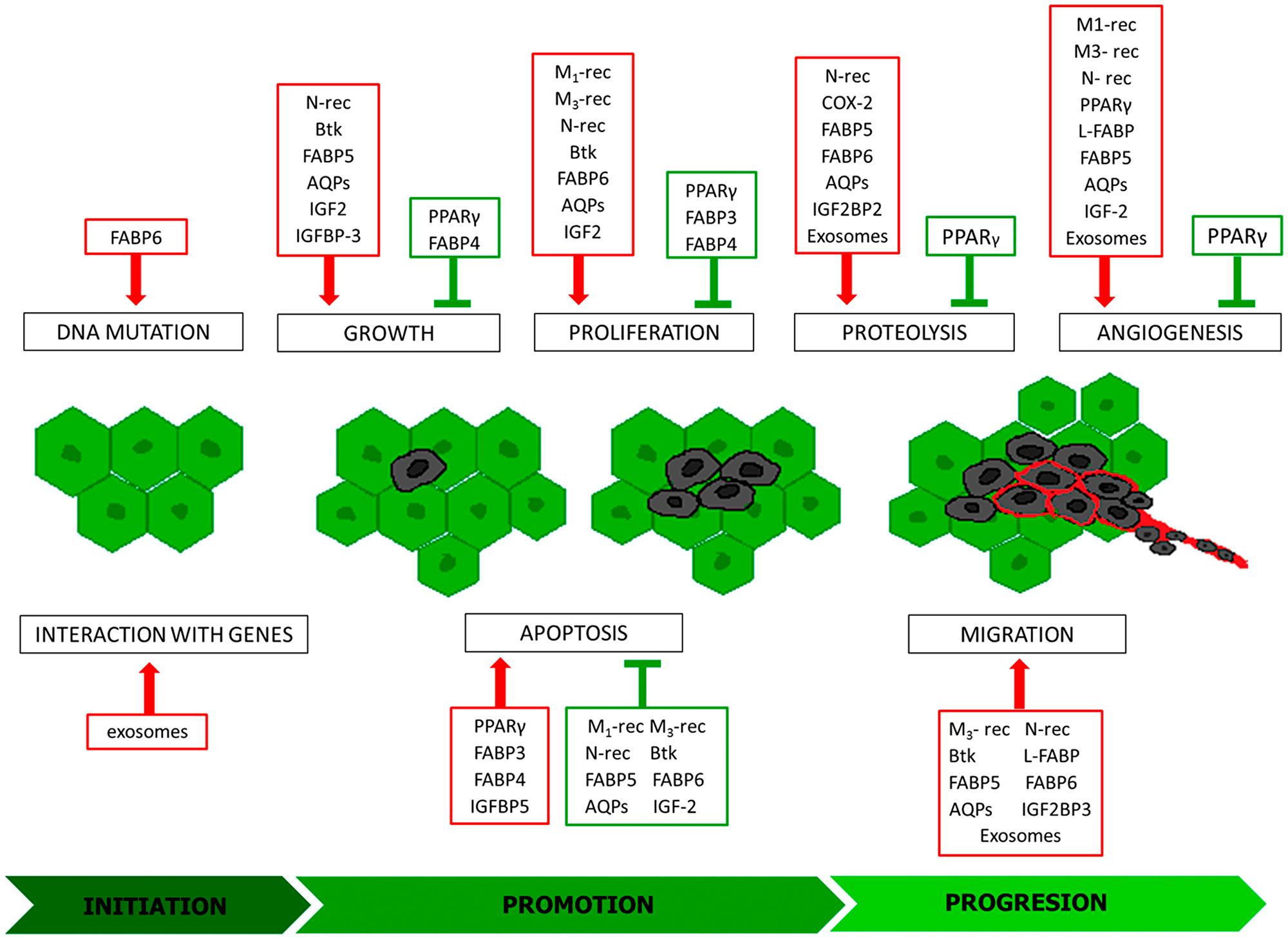 Modulators of individual stages of carcinogenesis.