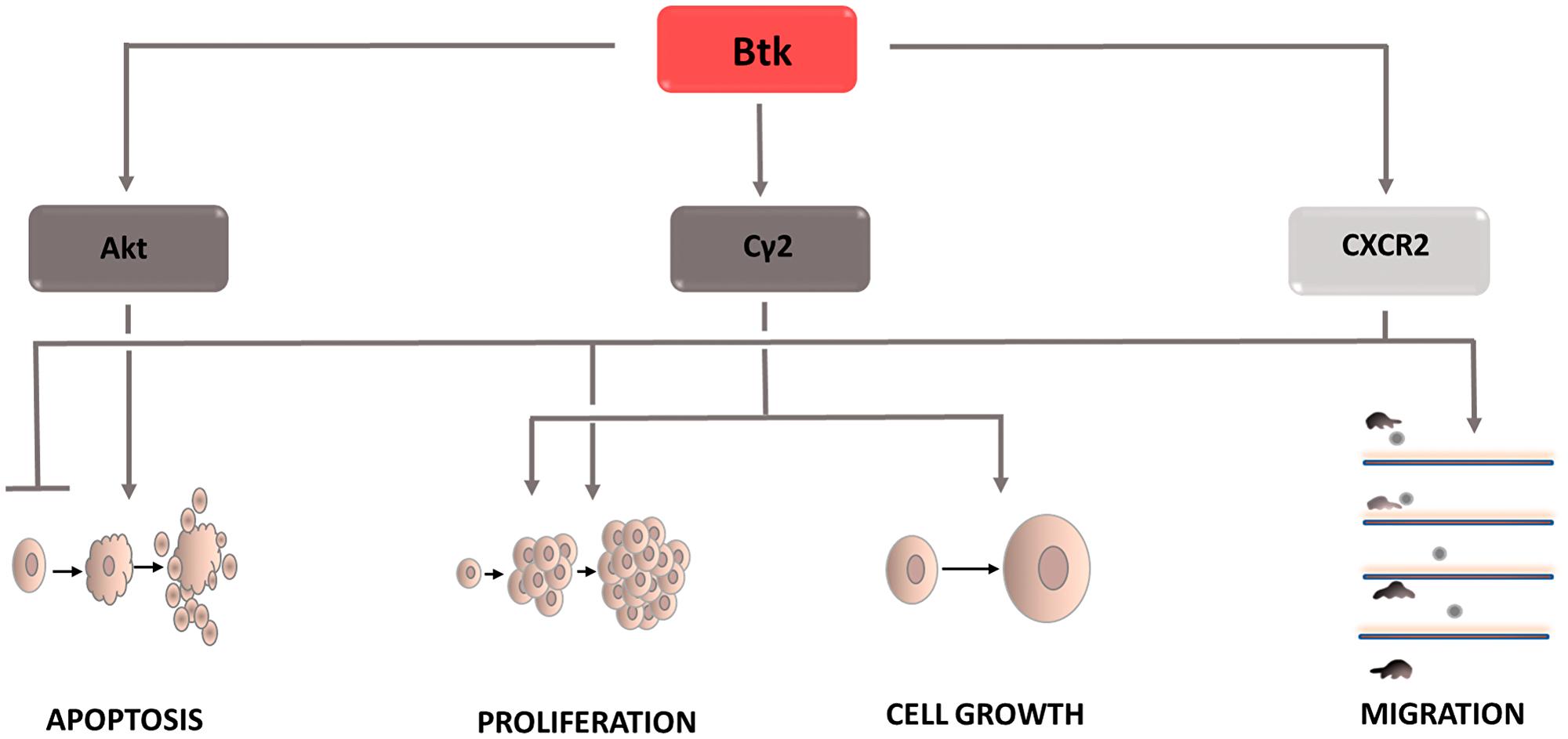 Carcinogenic effect of Bruton's tyrosine kinase (Btk).