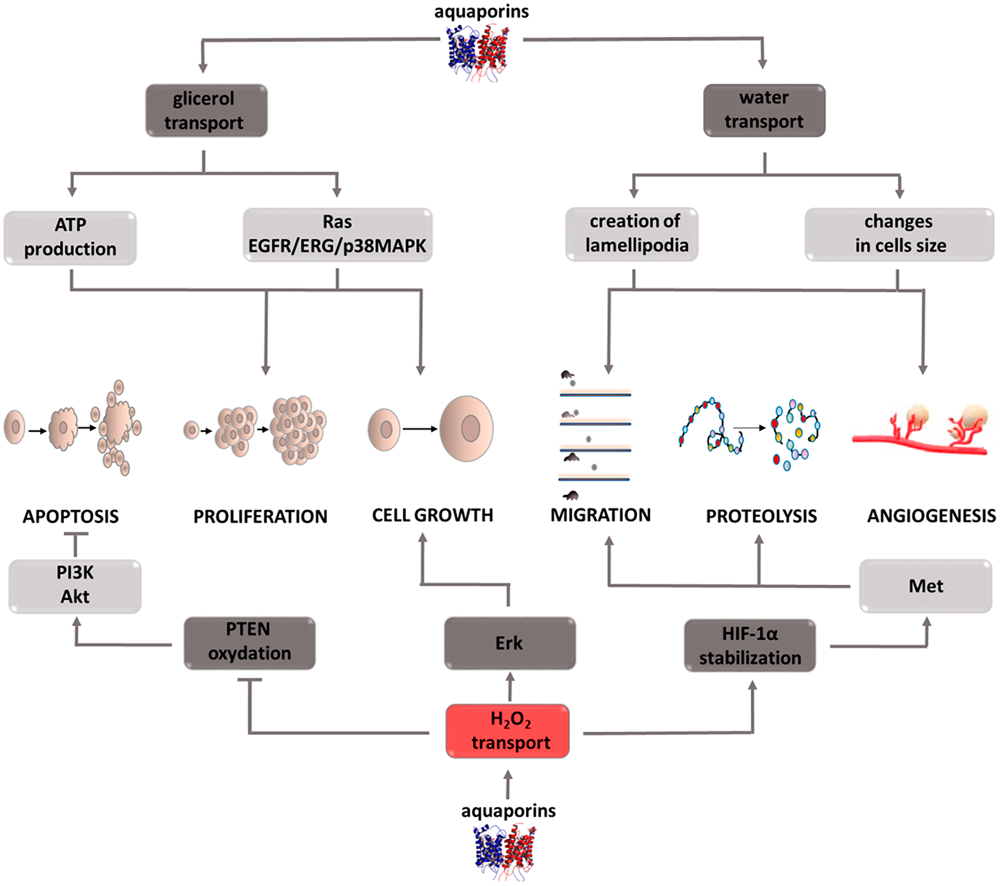 Carcinogenic effect of peroxisome aquaporins (AQPs).