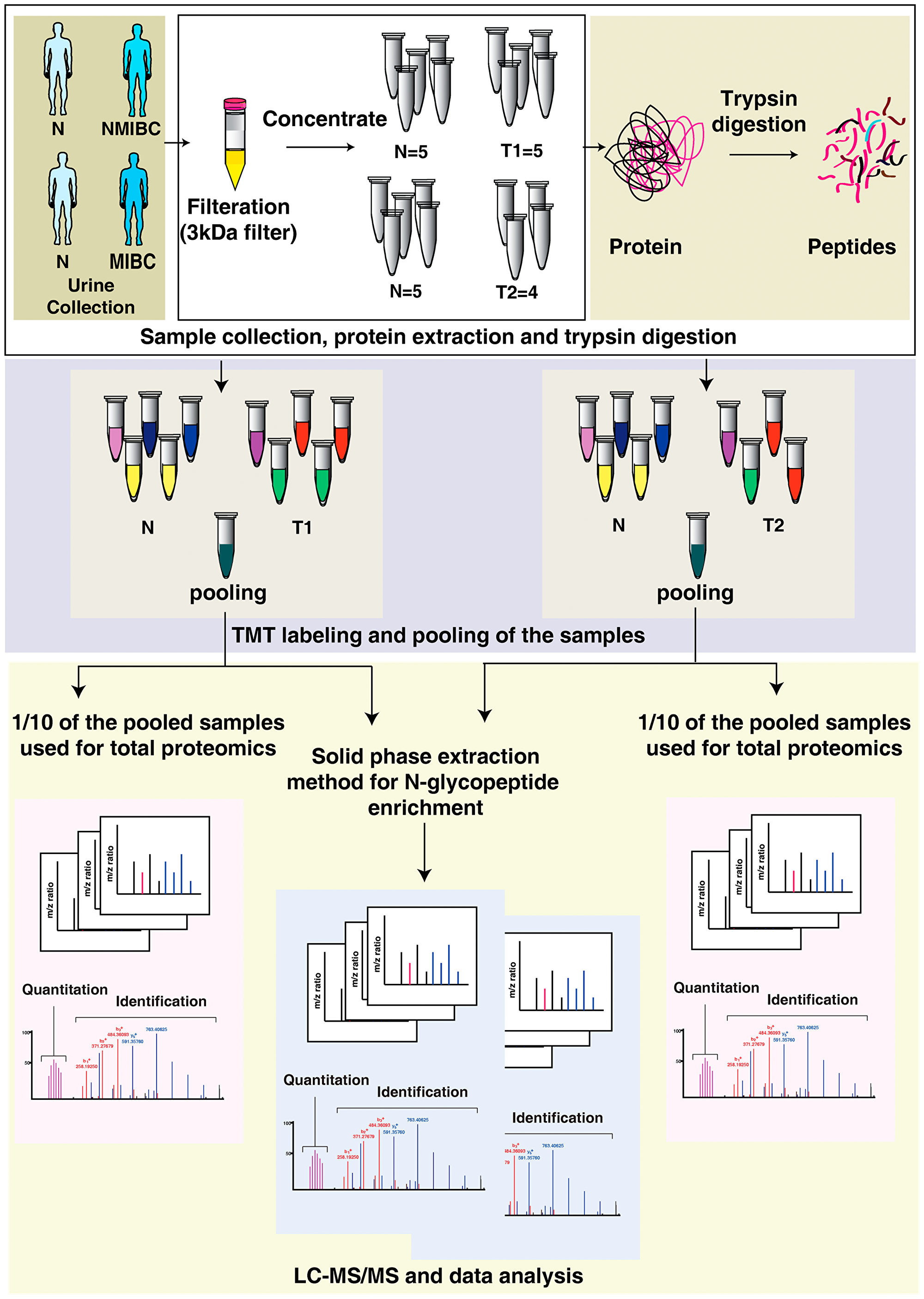 Integrated proteomics and N-glycoproteome analysis workflow applied to urine samples from bladder cancer patients and healthy subjects.