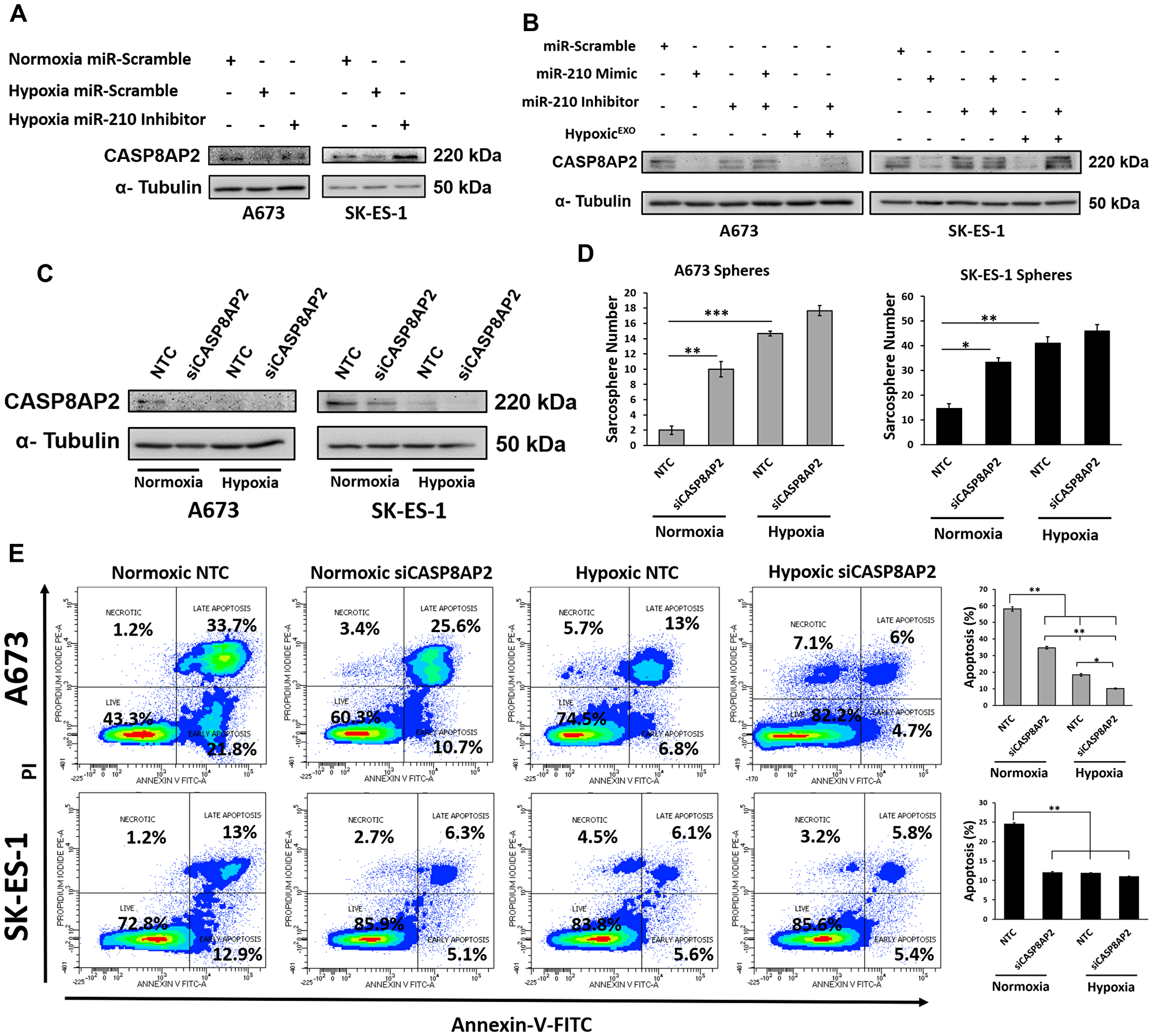 miR-210 silences the proapoptosis member CASP8AP2.
