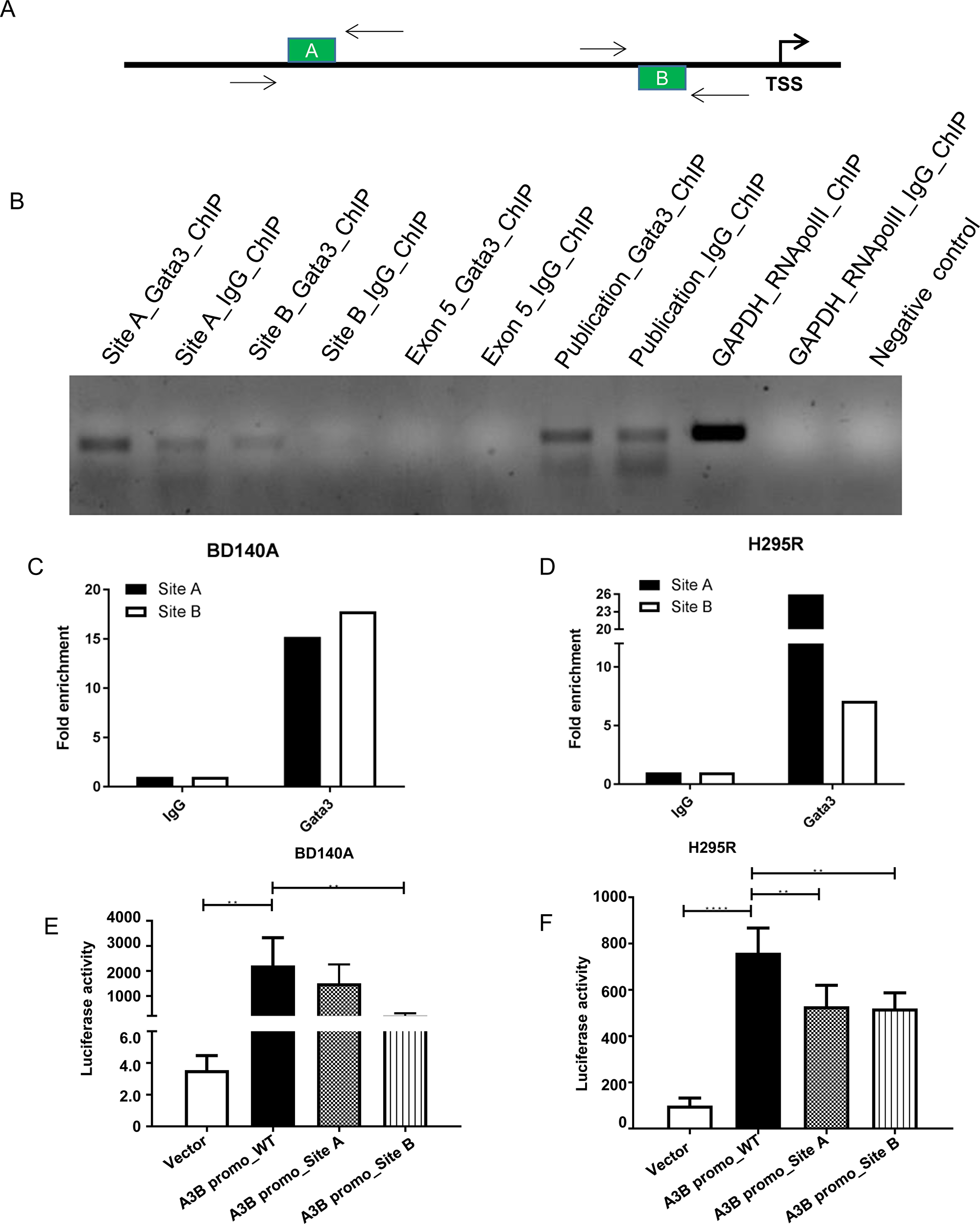 GATA3 binds directly to the APOBEC3B promoter region and regulate its transcription.
