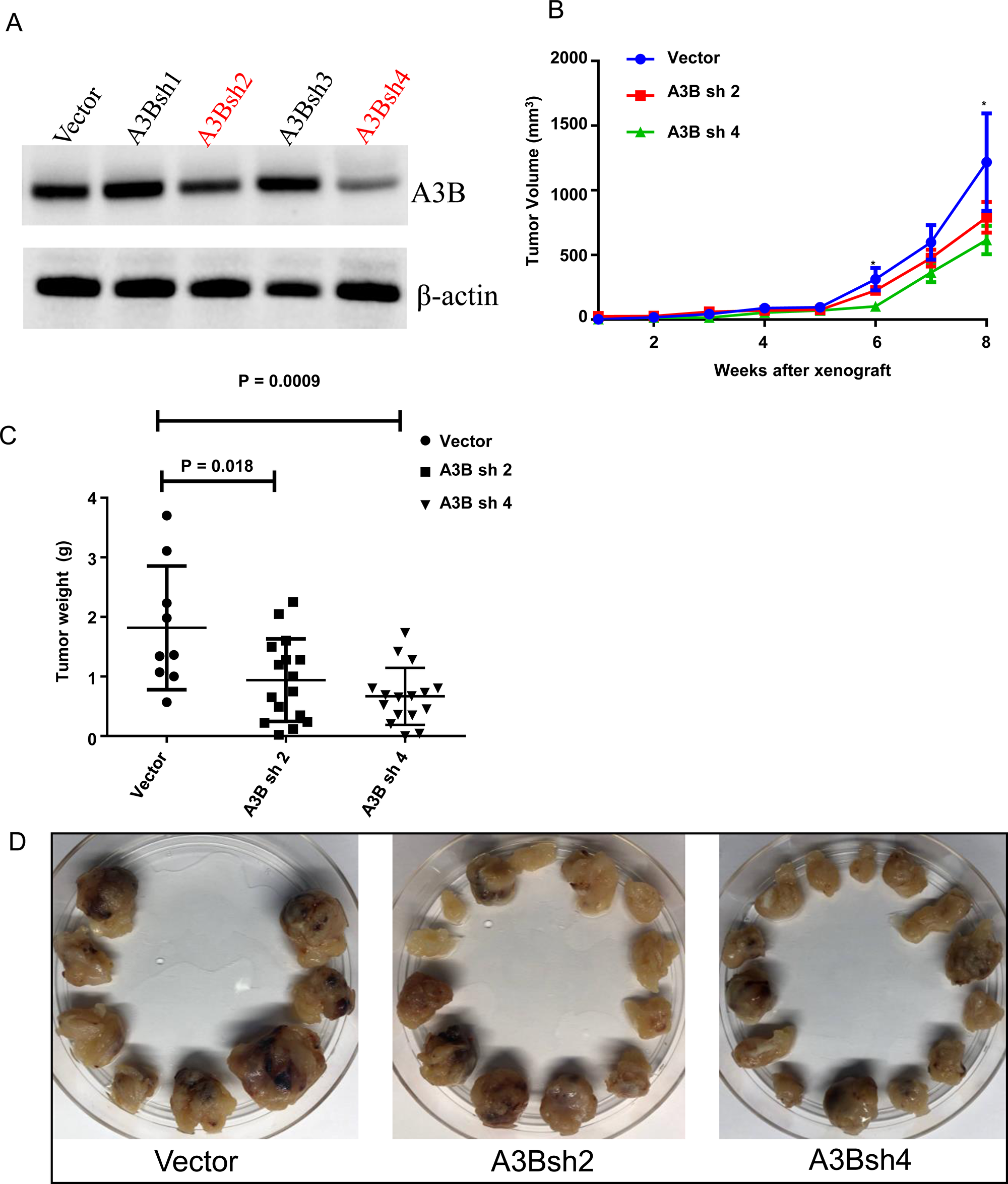 Knockdown of APOBEC3B is associated with a lower tumor growth in an adrenocortical carcinoma xenograft mouse model.