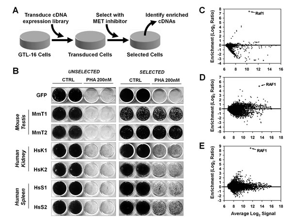 Generation of PHA-resistant GTL-16 cells by transduction with expression libraries.