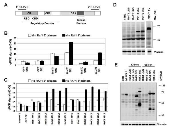 Validation of RAF1 cDNA enrichment.