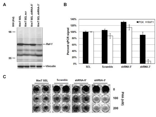 Silencing of truncated murine Raf1 restores sensitivity to PHA.