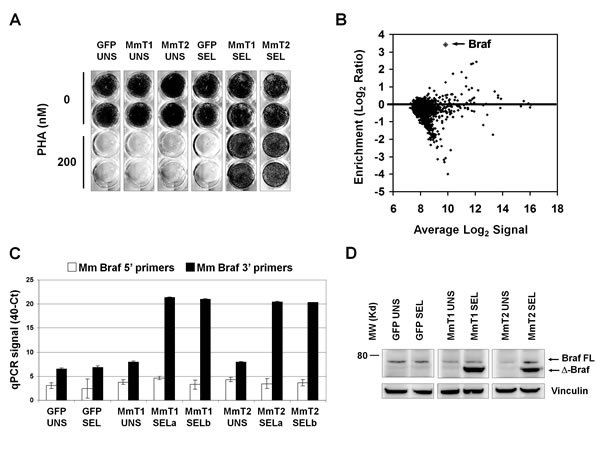 PHA-resistant cells emerging after murine Raf1 silencing are enriched for truncated Braf.