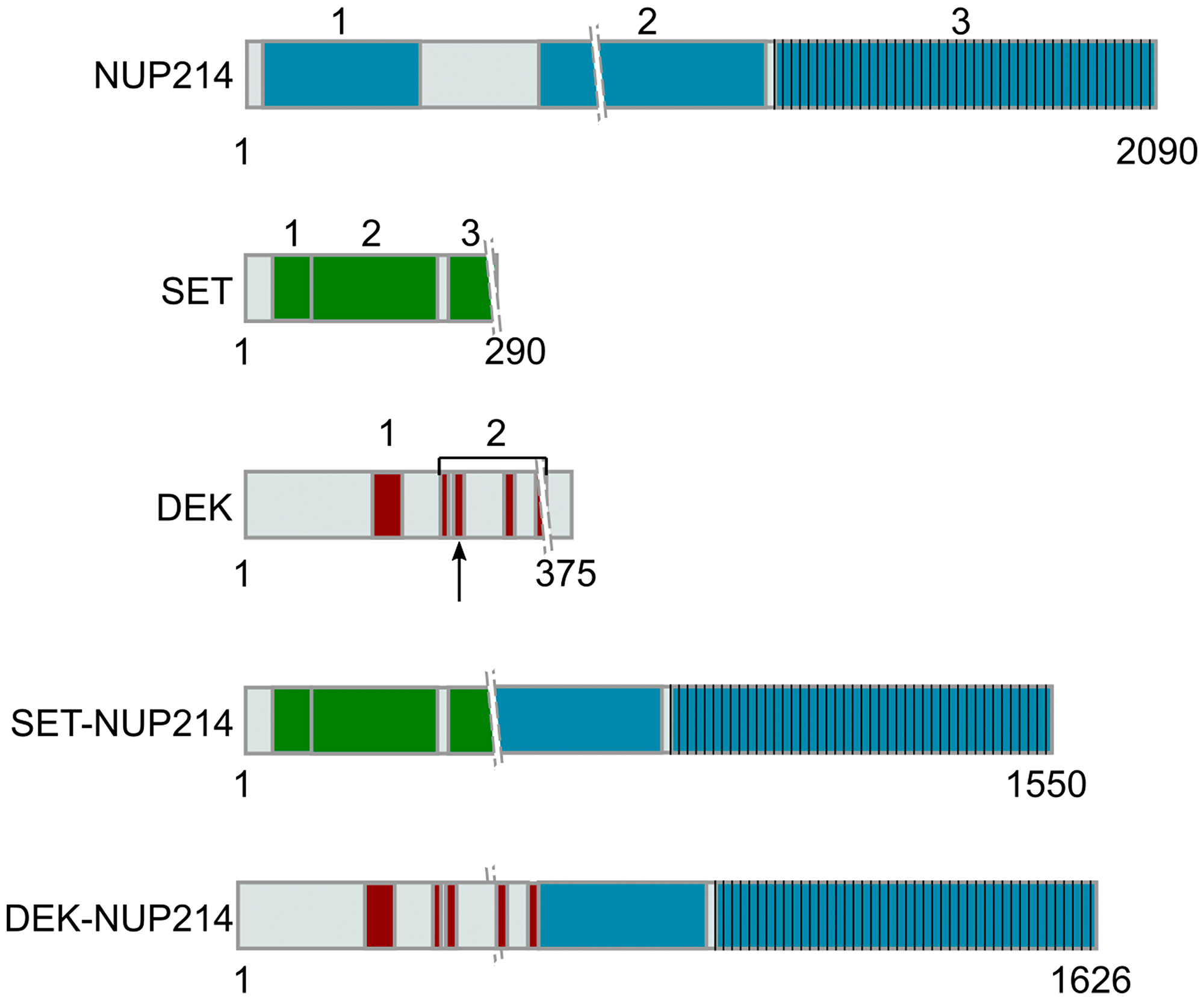 Representation of NUP214 and its binding partners in leukemogenic NUP214 fusion proteins.