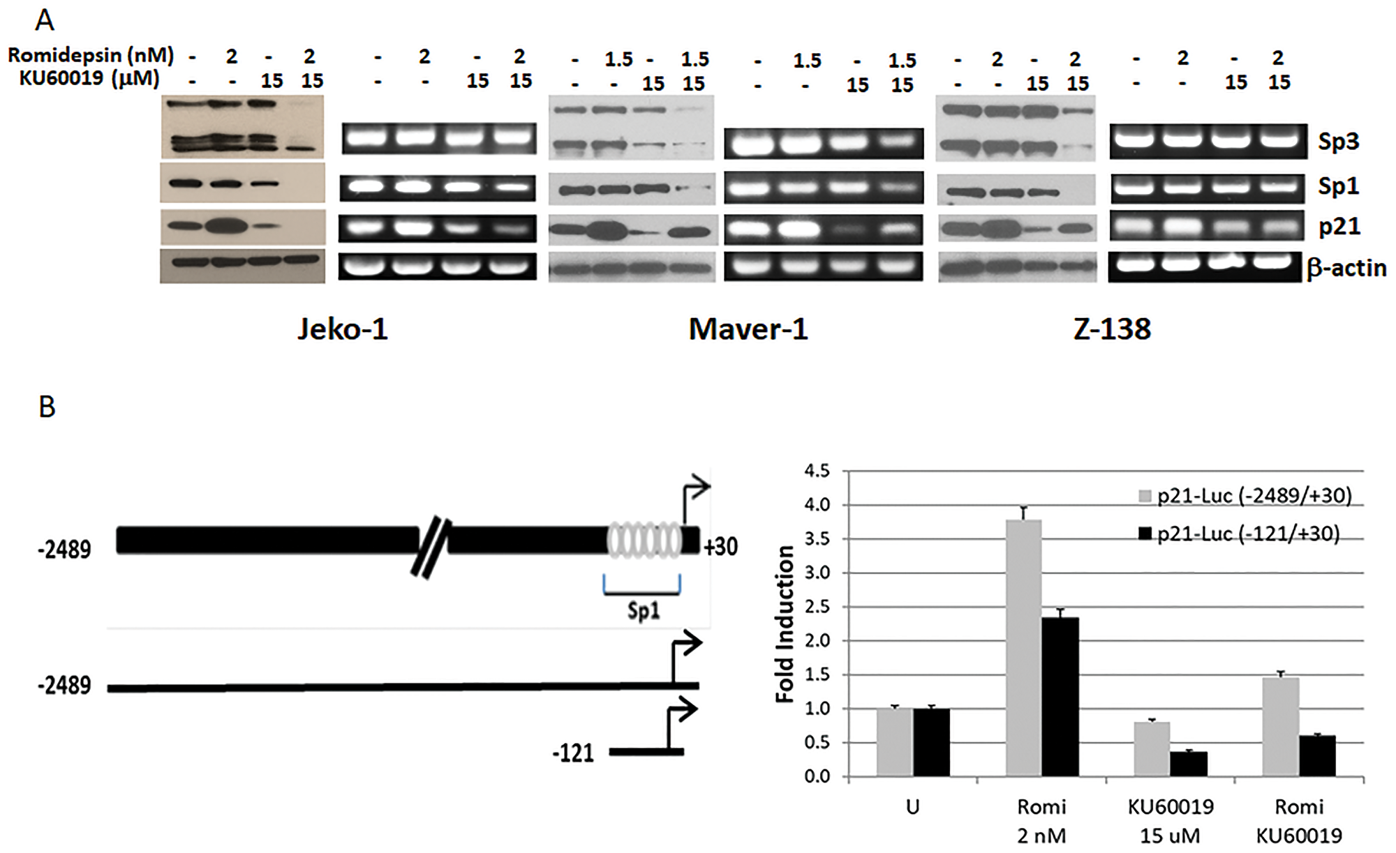 KU60019 affects the ability of romidepsin to induce expression of p21.