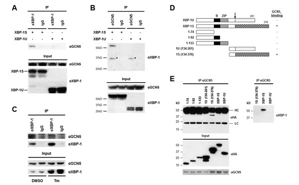 XBP-1S interacts with GCN5 through its specific C-terminal region.